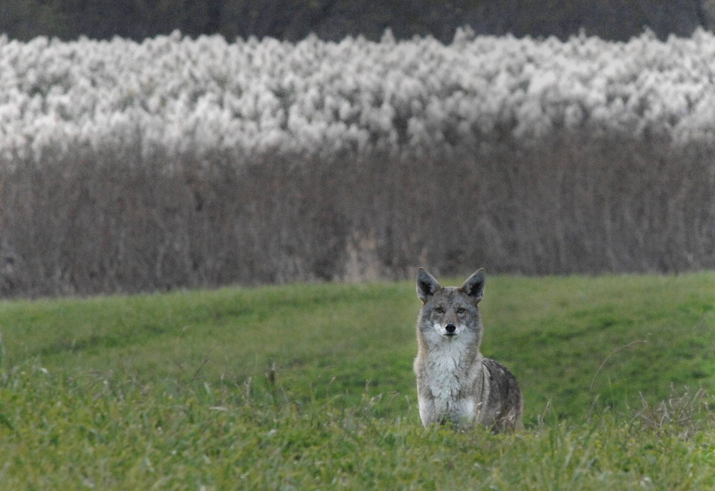 Coyotes, like this one spotted in Wasco in 2011, have become more aggressive Geneva residents say and they want the city council to take action.