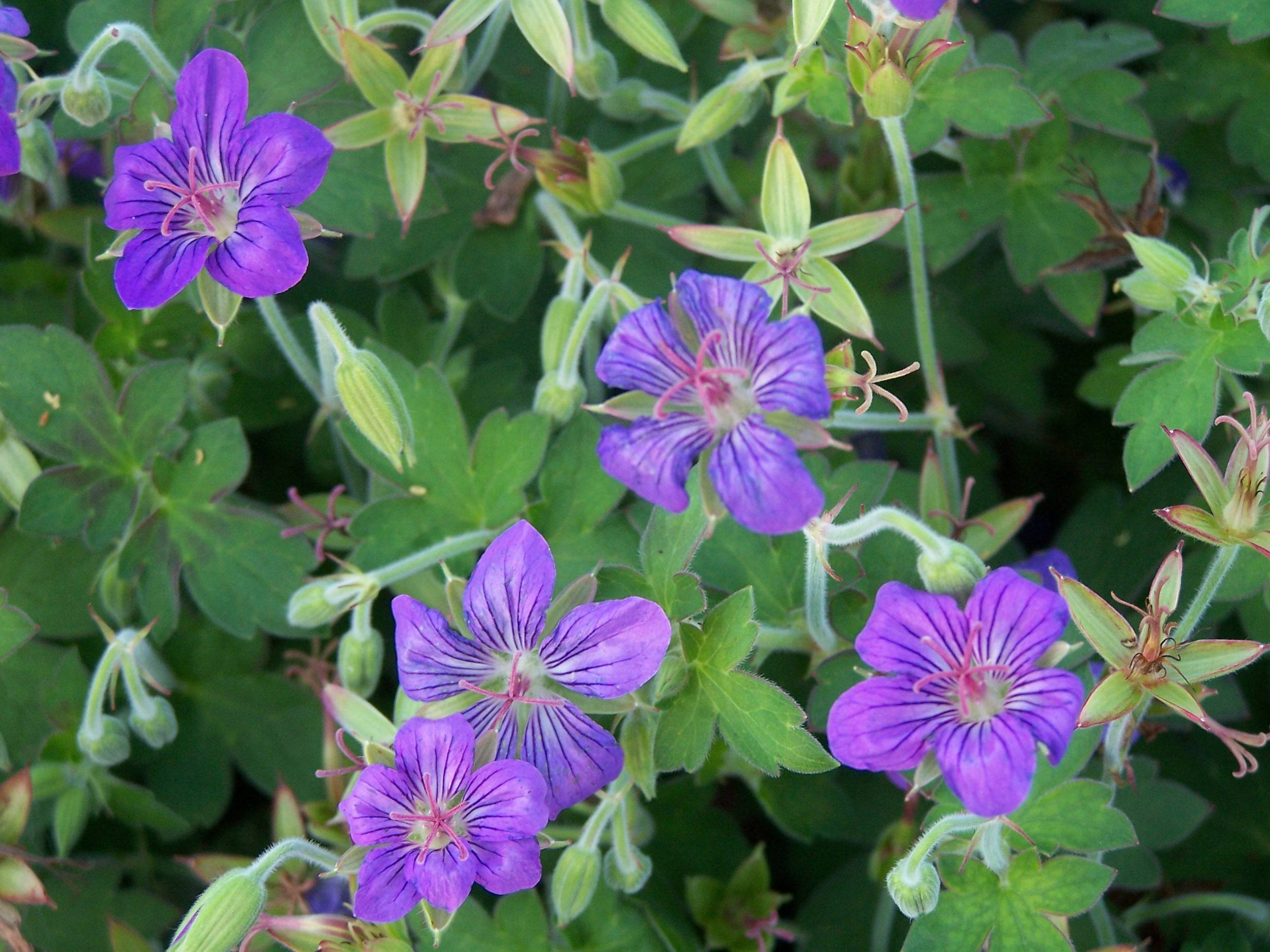 Cut back Johnson Blue geranium after flowering for nicer, more compact foliage the rest of the season.