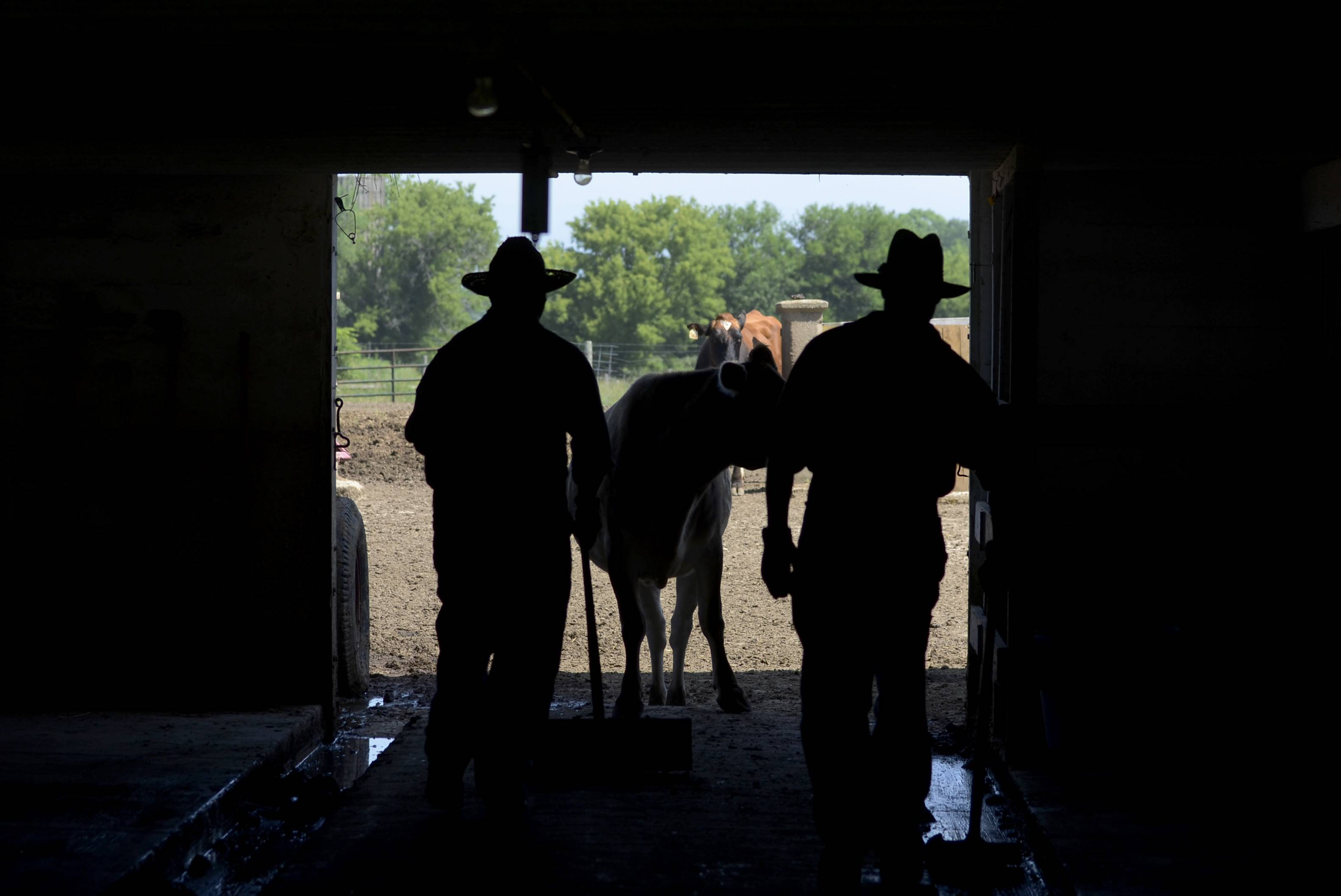 Primrose Farm's Brett Garrett, left, director of development, and Justin Sikora, agricultural interpreter, take the cows out after milking Wednesday at the farm in St. Charles. The living history farm offers tours and hands-on activities about life on a mid-20th-century dairy farm.