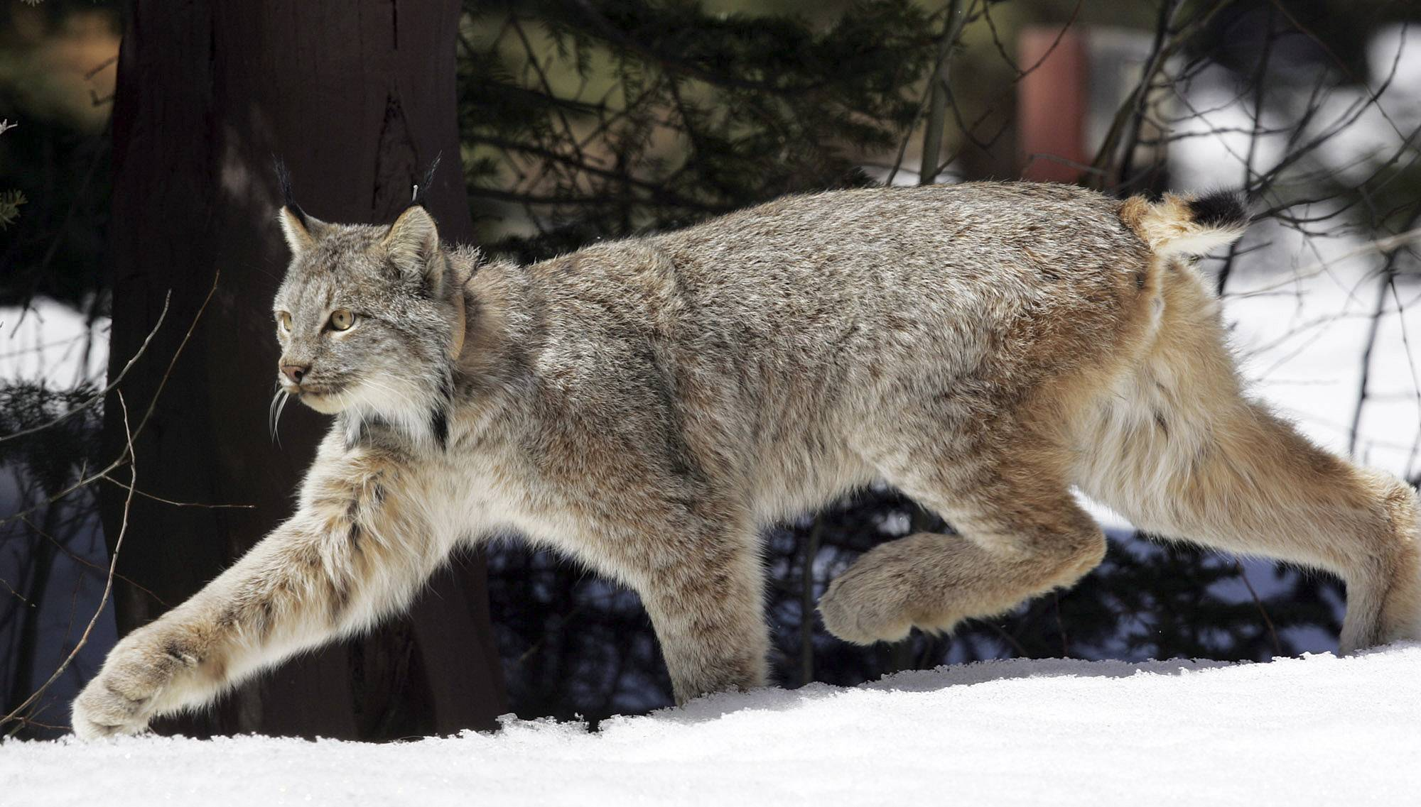 A Canada lynx heads into the Rio Grande National Forest after being released near Creede, Colo., in 2005. The U.S. government declared the snow-loving big cats a threatened species across the Lower 48 states in 2000.