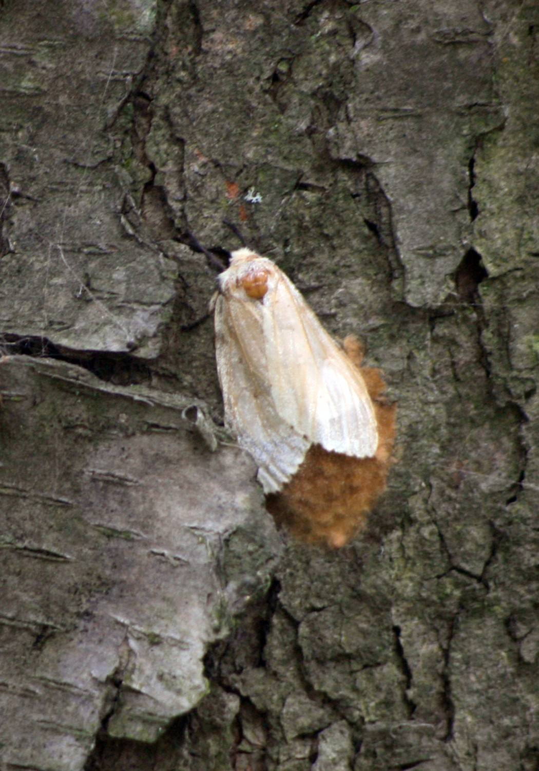 The fight against gyspy moths, insects that threaten the health of oaks and other trees, is expected to resume June 30 in forest preserves around DuPage County.