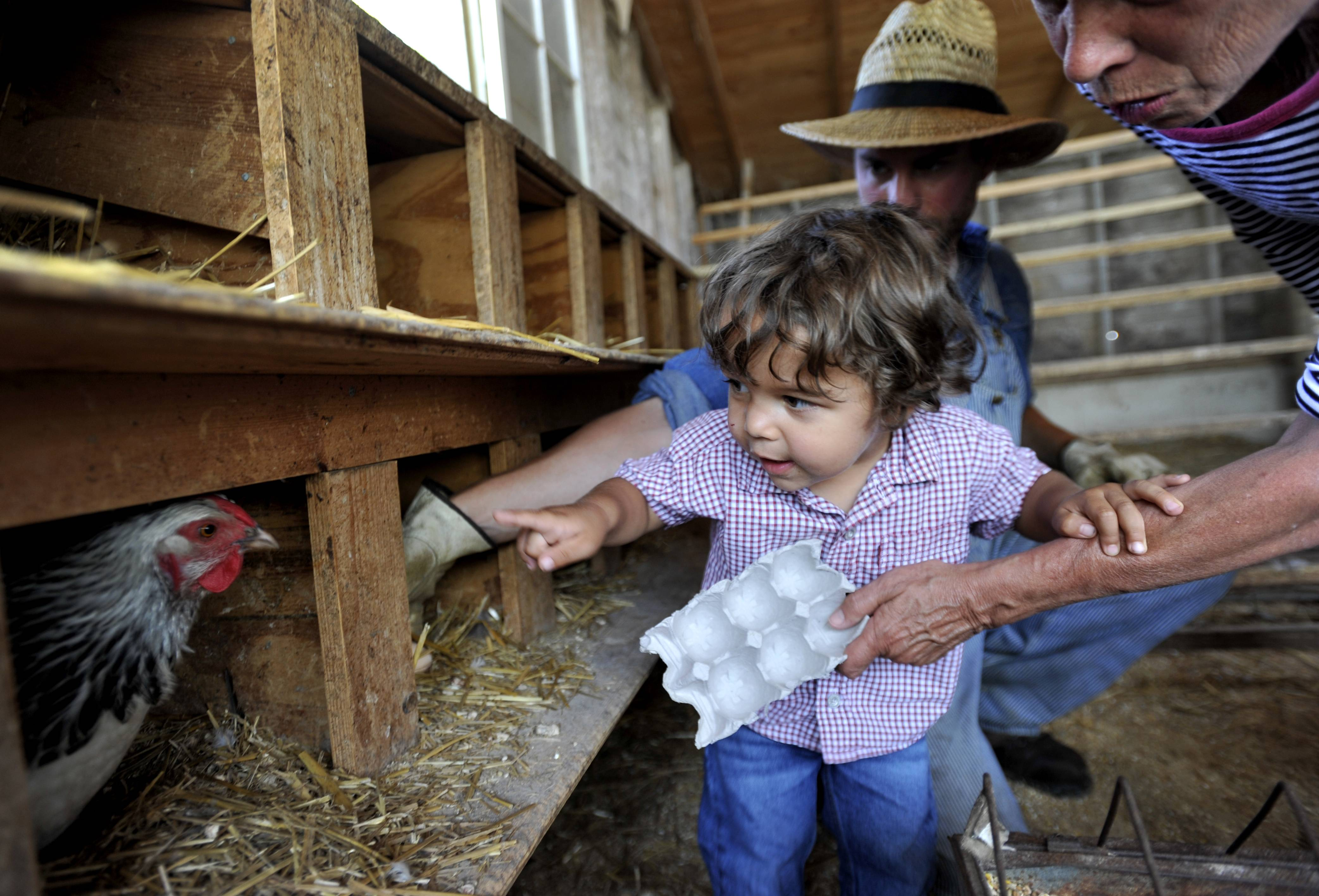 Maddox Epstein, 2 of Atlanta peeks into a hen's nest before grabbing an egg during the chicken and egg demo Wednesday at Primrose Farm in St. Charles. Justin Sikora, agricultural interpreter at Primrose Farm, guided Maddox and his grandmother Jane Pickle of St. Charles on the tour.