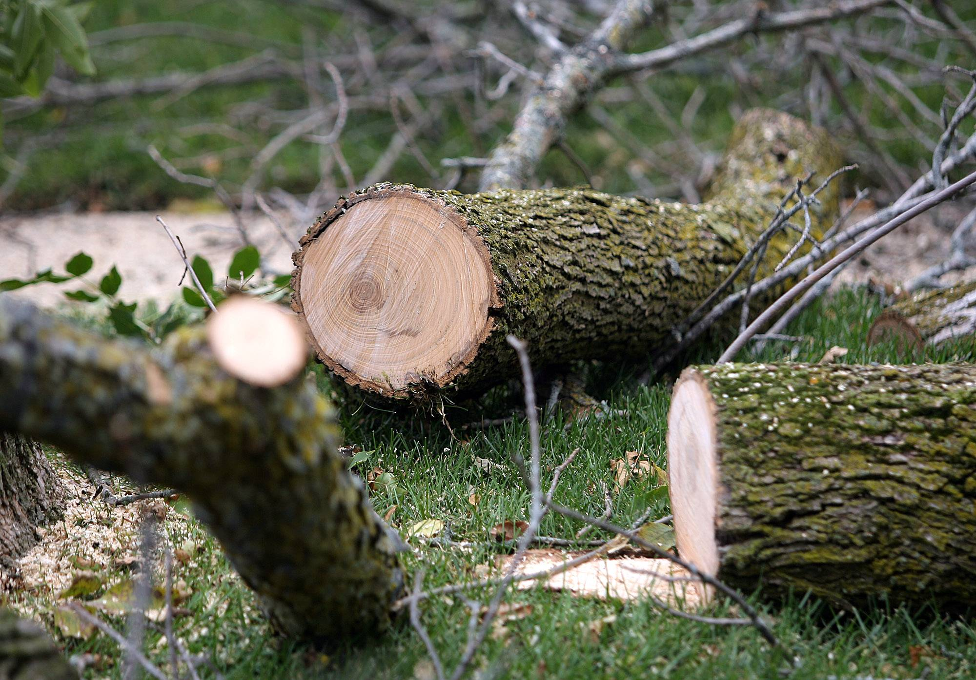 Ash tree removal program in Libertyville expected to last a few more years