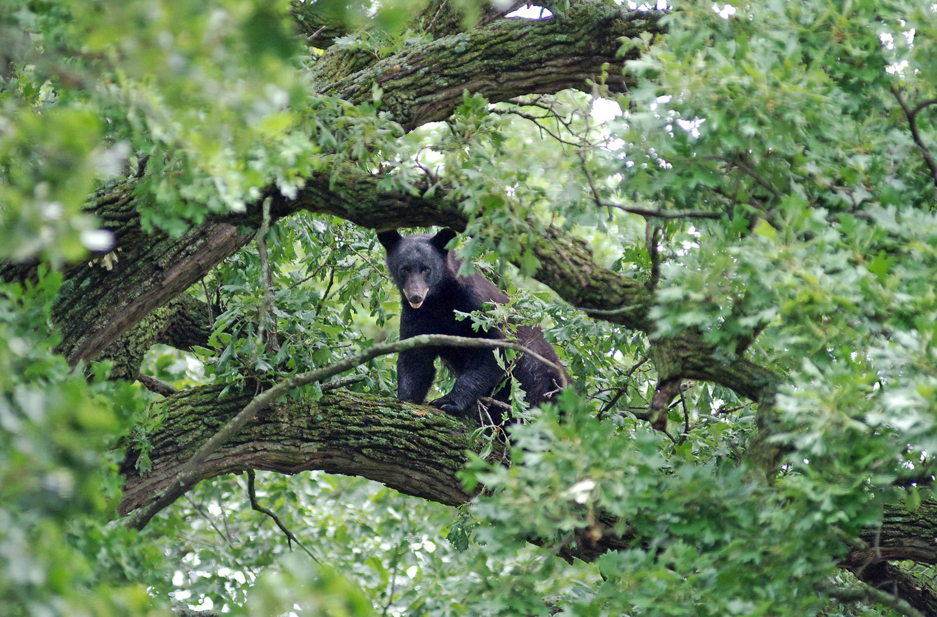 A young black bear peeks out from an oak tree in Mount Morris in mid-June, apparently after deciding the Jane Addams Tollway was too much of a challenge.