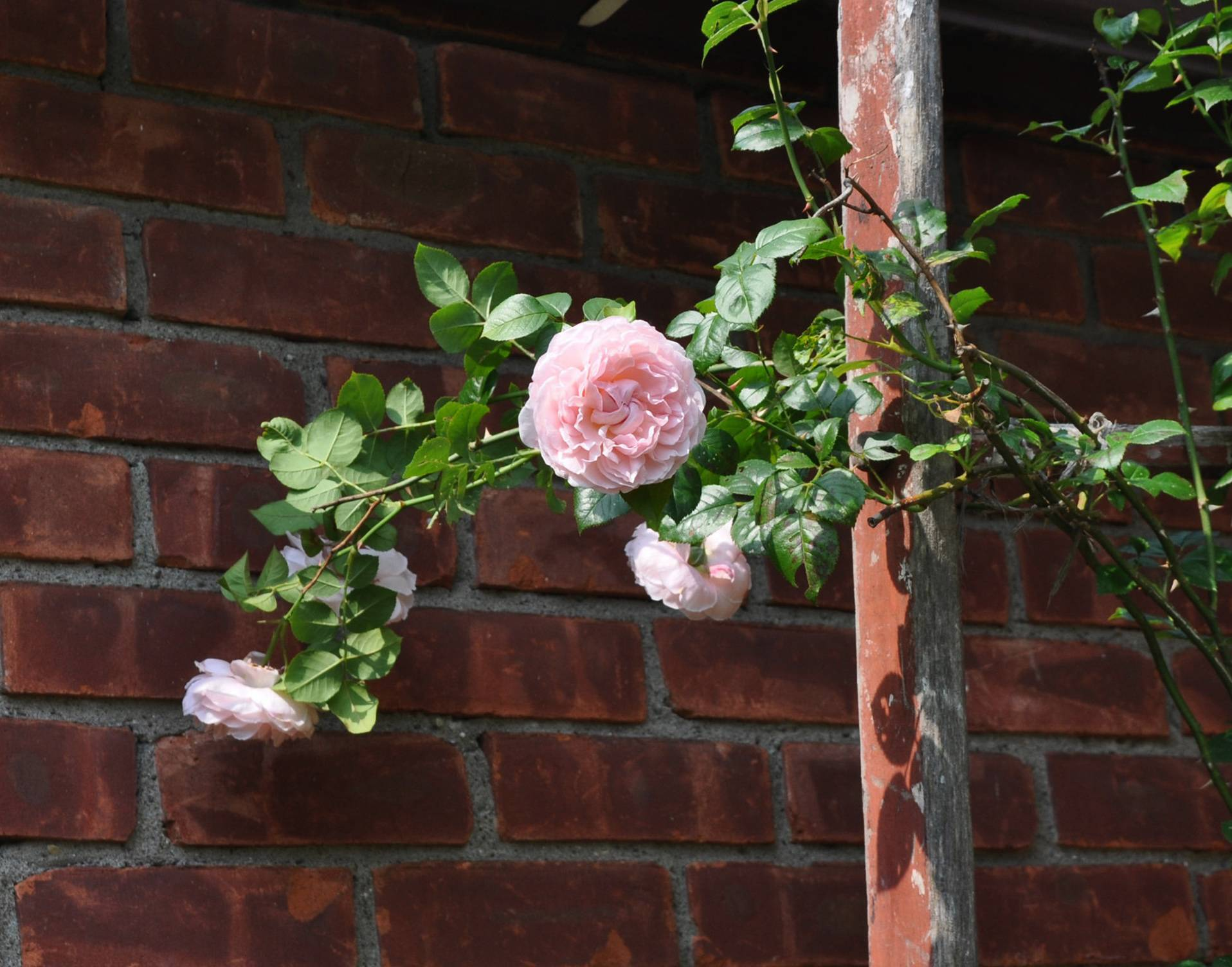Strong fragrance in addition to beautiful blossoms double the pleasure of the Strawberry Hill rose.