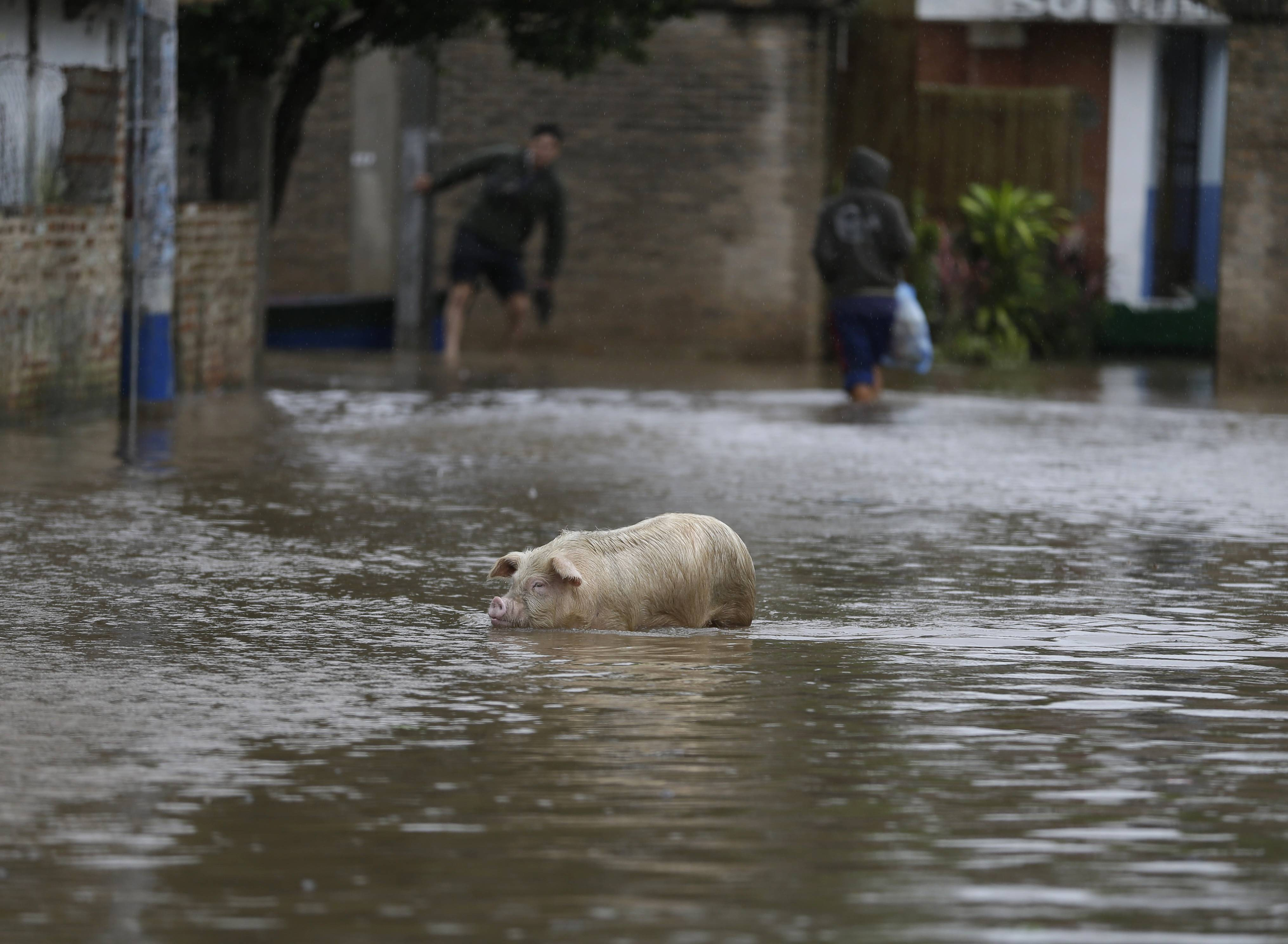 A pig walks through a flooded street Frifday in Paraguay.