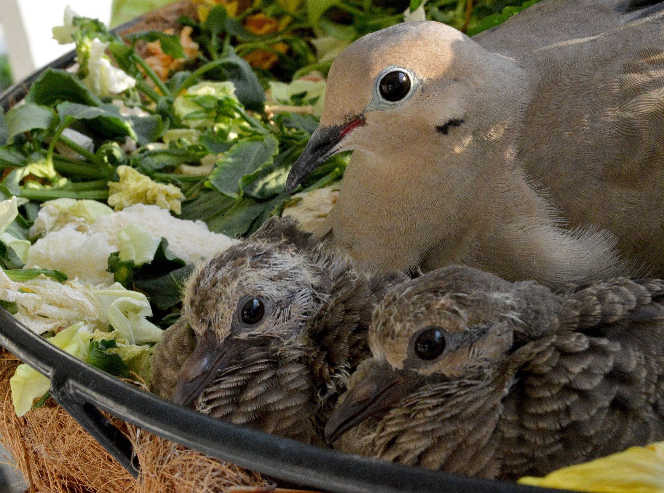 Two newly hatched birds lay next to their mother last week in a hanging plant basket in Grayslake.