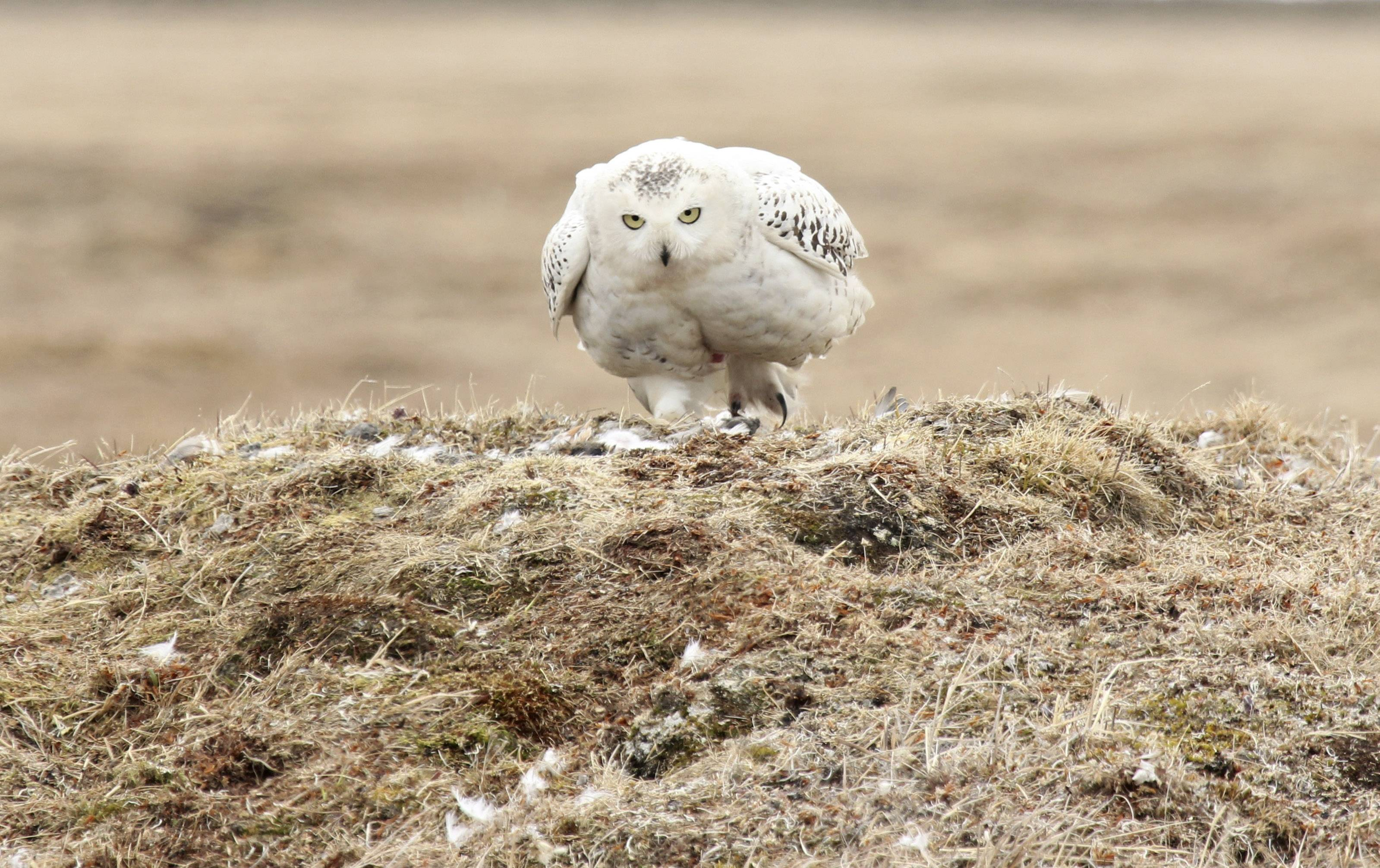 An Arctic snowy owl sits near the site of the explore.org live camera set up in Barrow, Alaska. A high-definition camera on a burrow near the nation's northernmost city is allowing researchers and any bird viewer with an Internet connection an unfettered view into the nesting den of an Arctic snowy owl.
