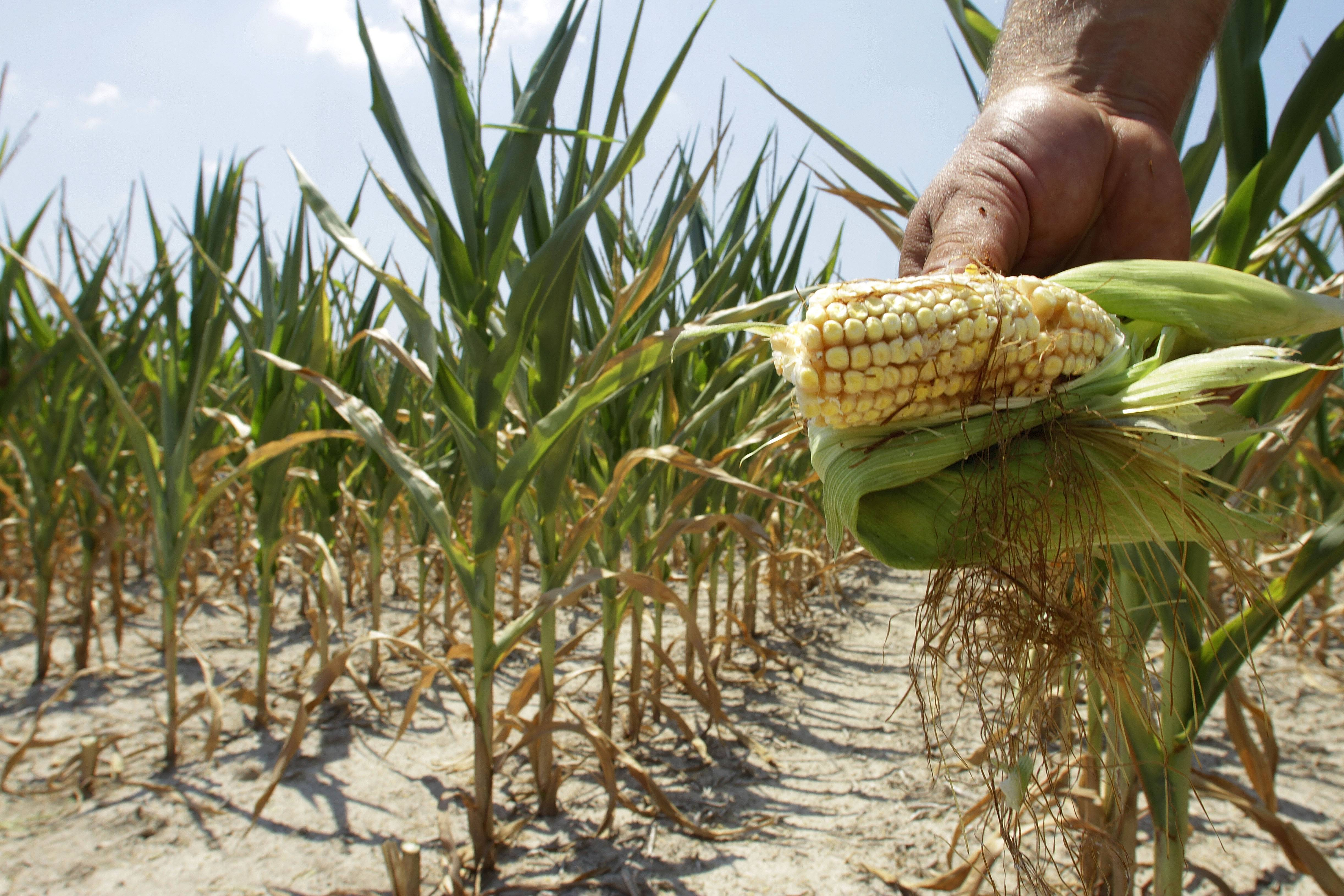 In this July 11, 2012 file photo, Steve Niedbalski shows his drought and heat stricken corn while chopping it down for feed in Nashville, Ill. Higher temperatures will reduce Midwest crop yields by 19 percent by midcentury and by 63 percent by the end of the century, according to a report backed by a trio of men with vast business experience that was released Tuesday, June 24, 2014.