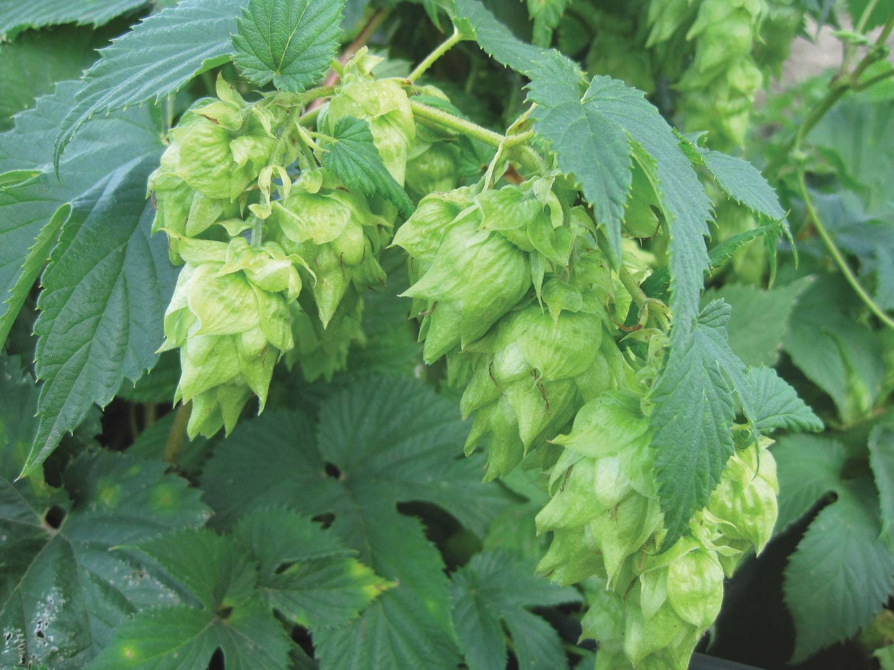 After hop cones ripen and are harvested and dried, store them in airtight plastic bags and freeze until brewing time.