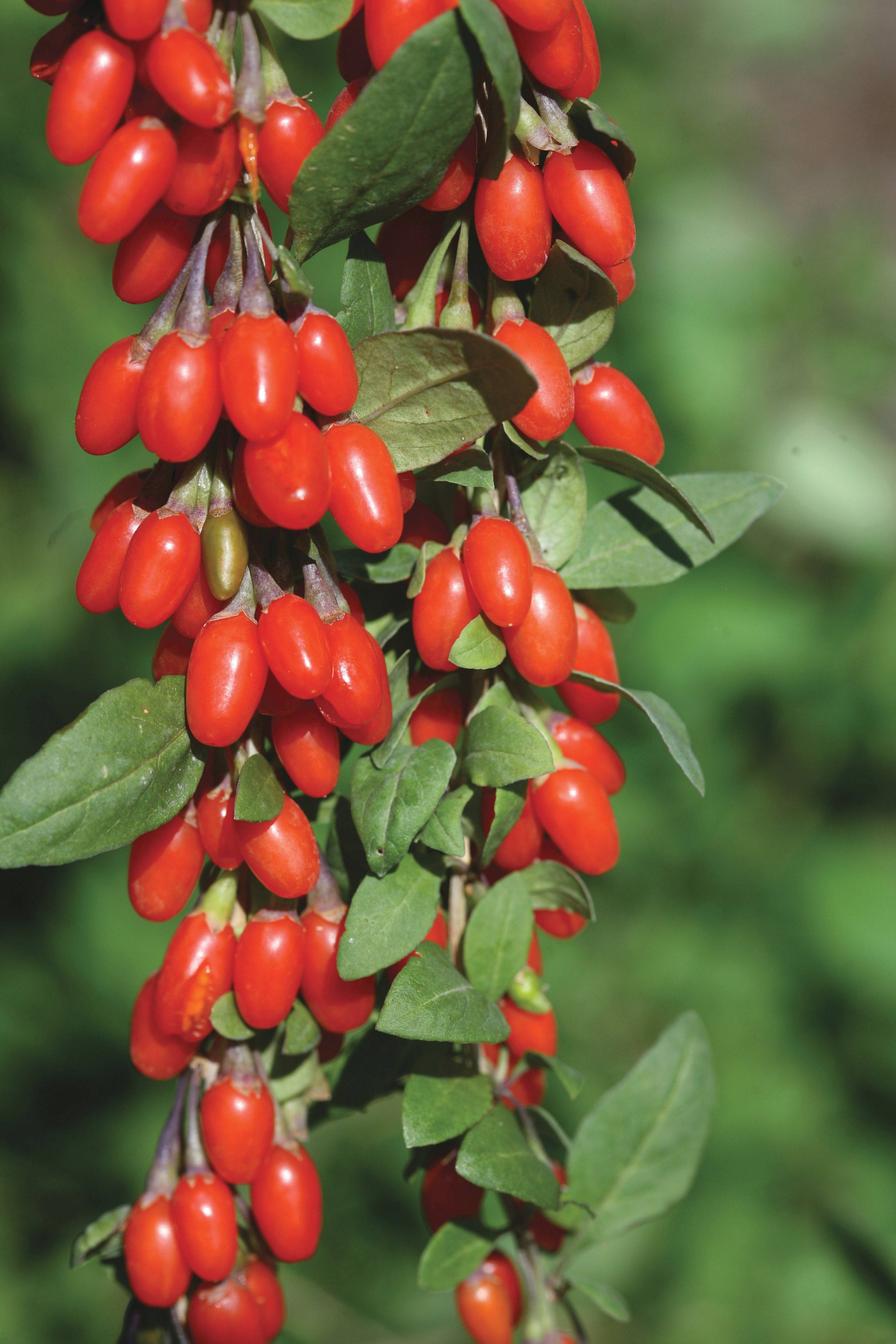 Goji berries are rich in antioxidants and great fresh on cereal, in salads or blended into healthy drinks.