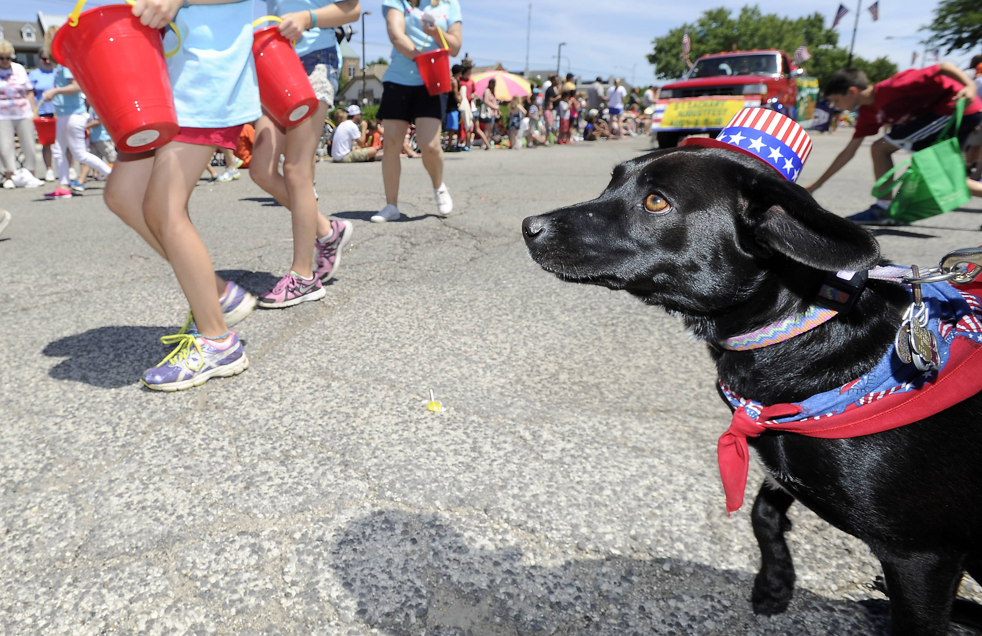 Lucy, a black Lab mix, watches the Mount Prospect parade  as owner Keith Gerber holds .