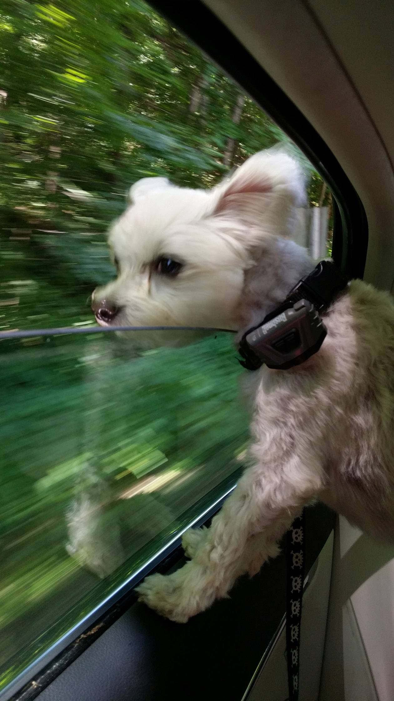 A dog named Yippie is loving life as it hangs out a car window on the way to Starved Rock.