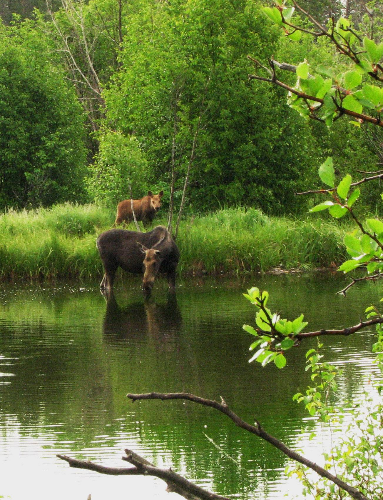 A moose and her calf drink water at a pond last June in Teton National Park in Wyoming.