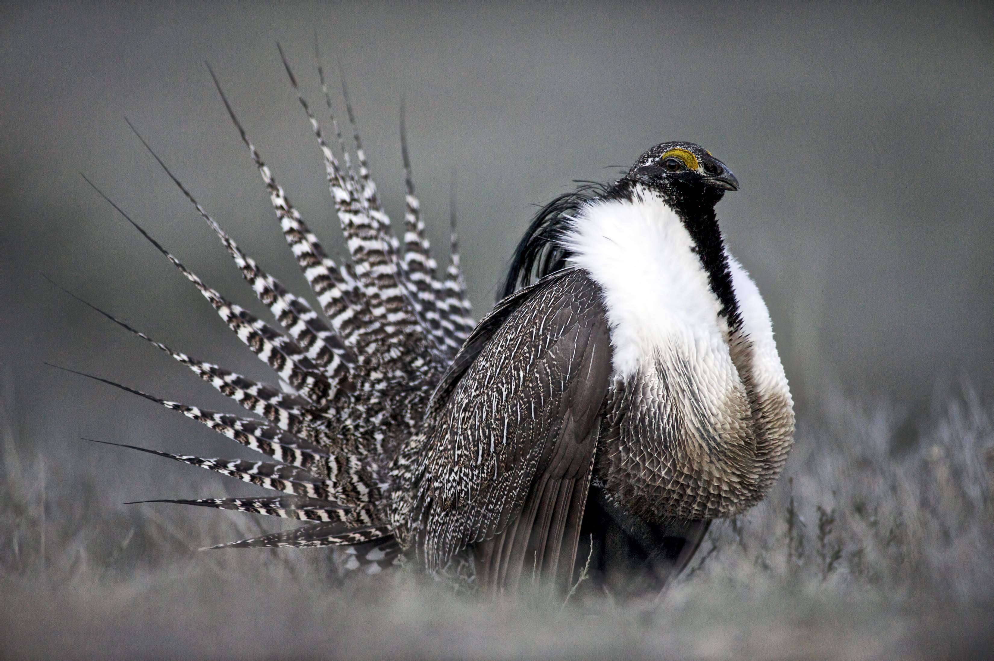 A Gunnison sage grouse with tail feathers fanned near Gunnison, Colo.
