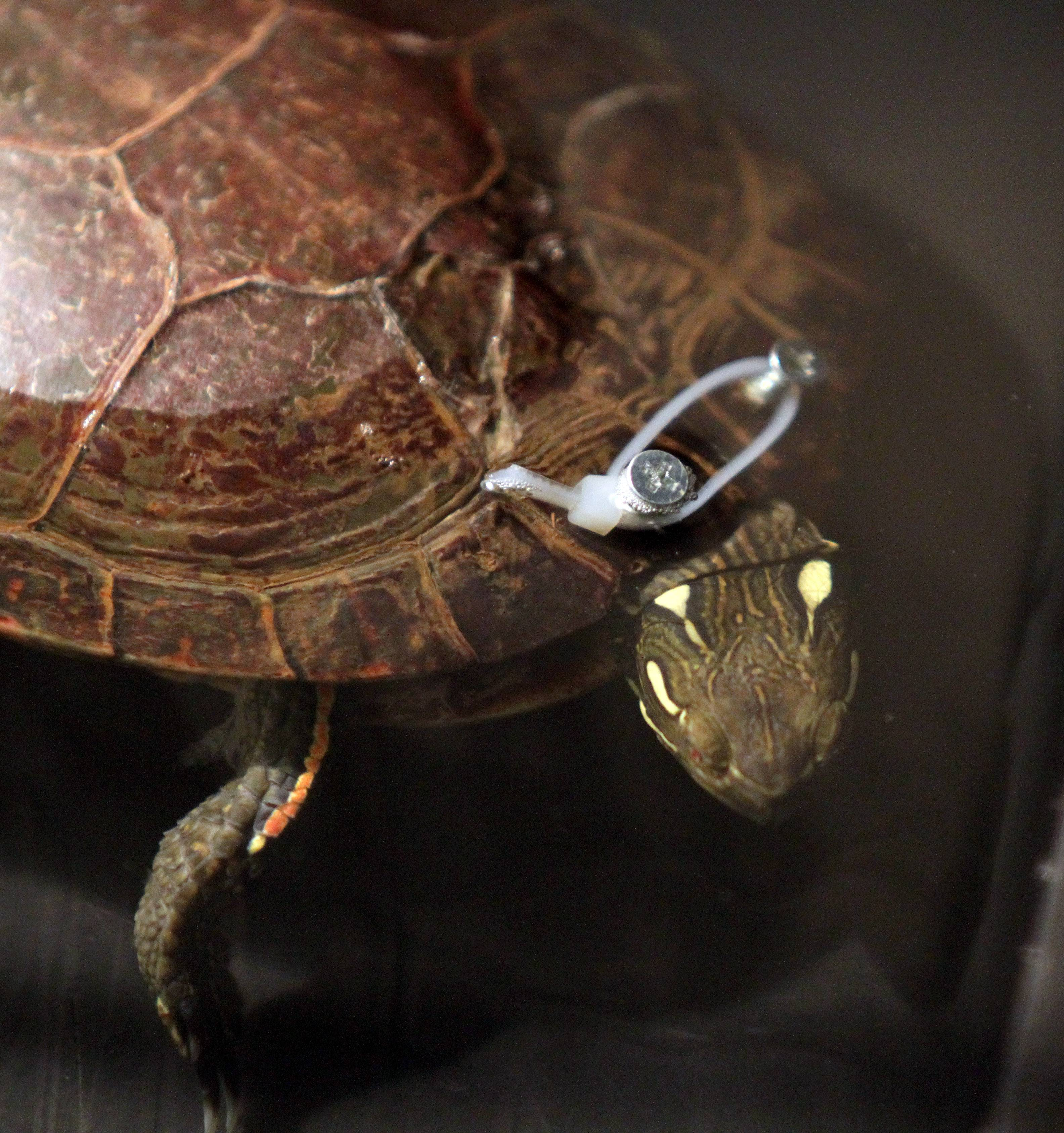 An injured painted turtle recuperates at Willowbrook Wildlife Center in Glen Ellyn. Cable ties and screws are used to help heal its broken shell.