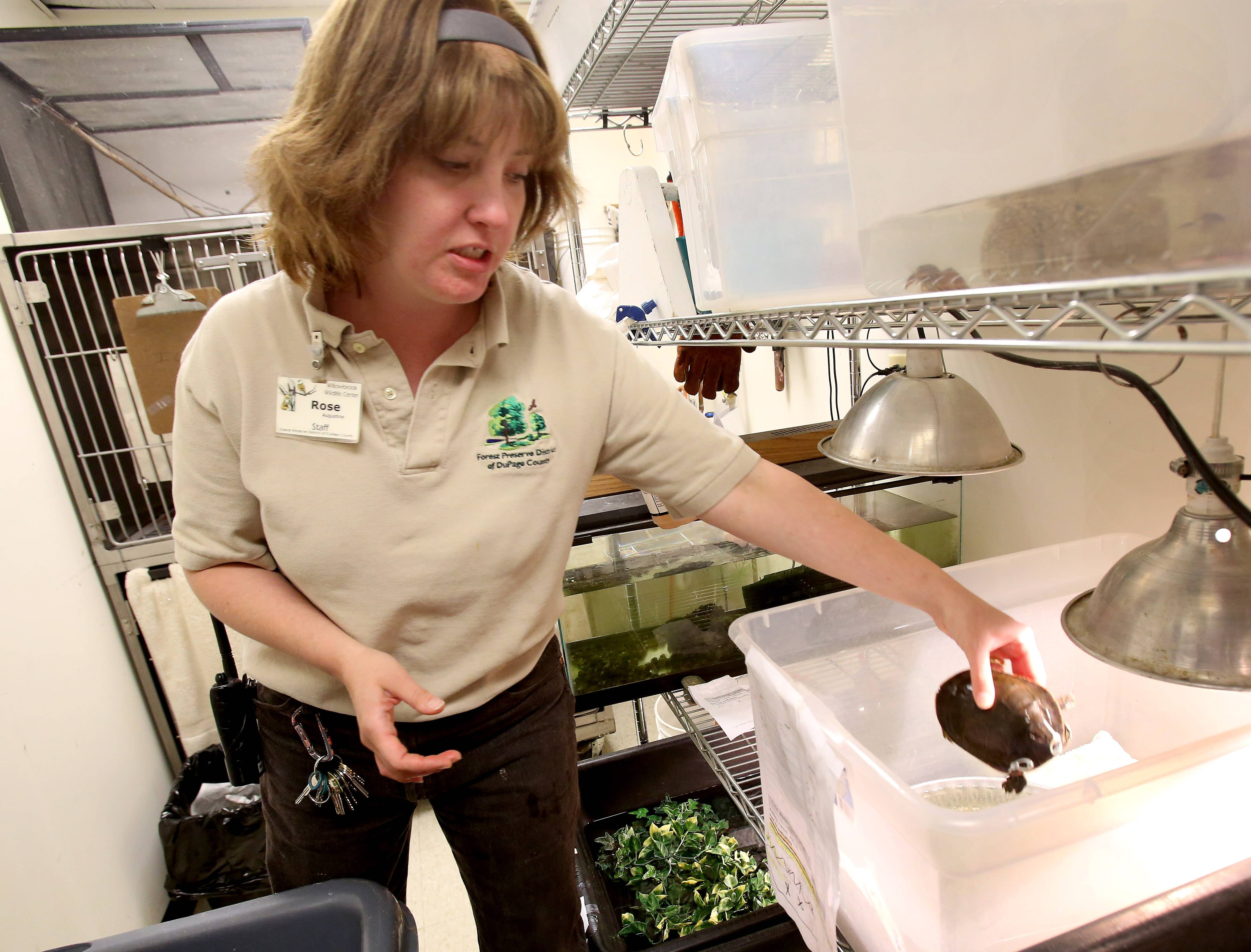 Wildlife specialist Rose Augustine holds an injured painted turtle at Willowbrook Wildlife Center in Glen Ellyn.