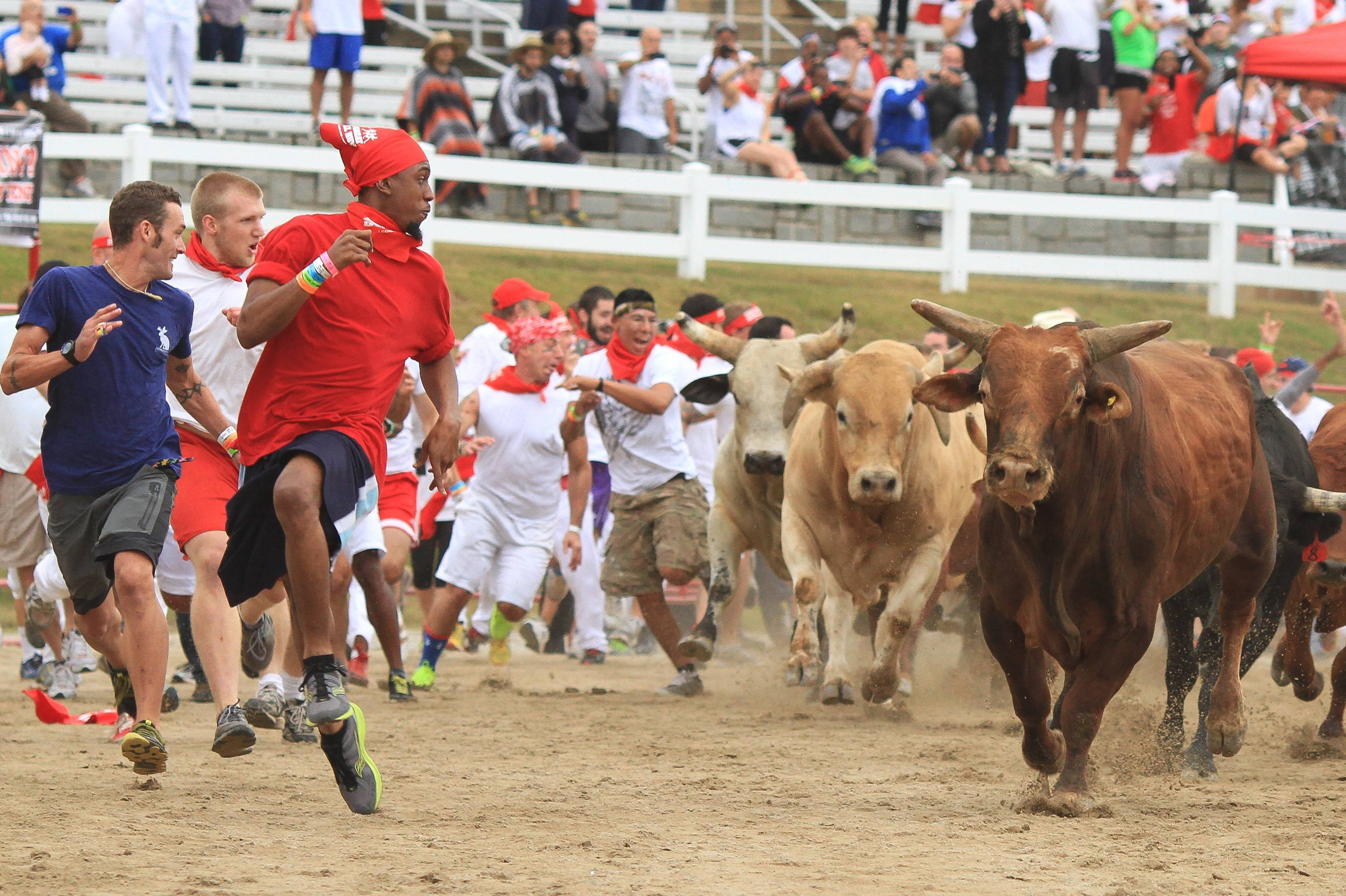 Eighteen bulls will be released in groups of six, providing three passes for fans at the Great Bull Run in Cicero.
