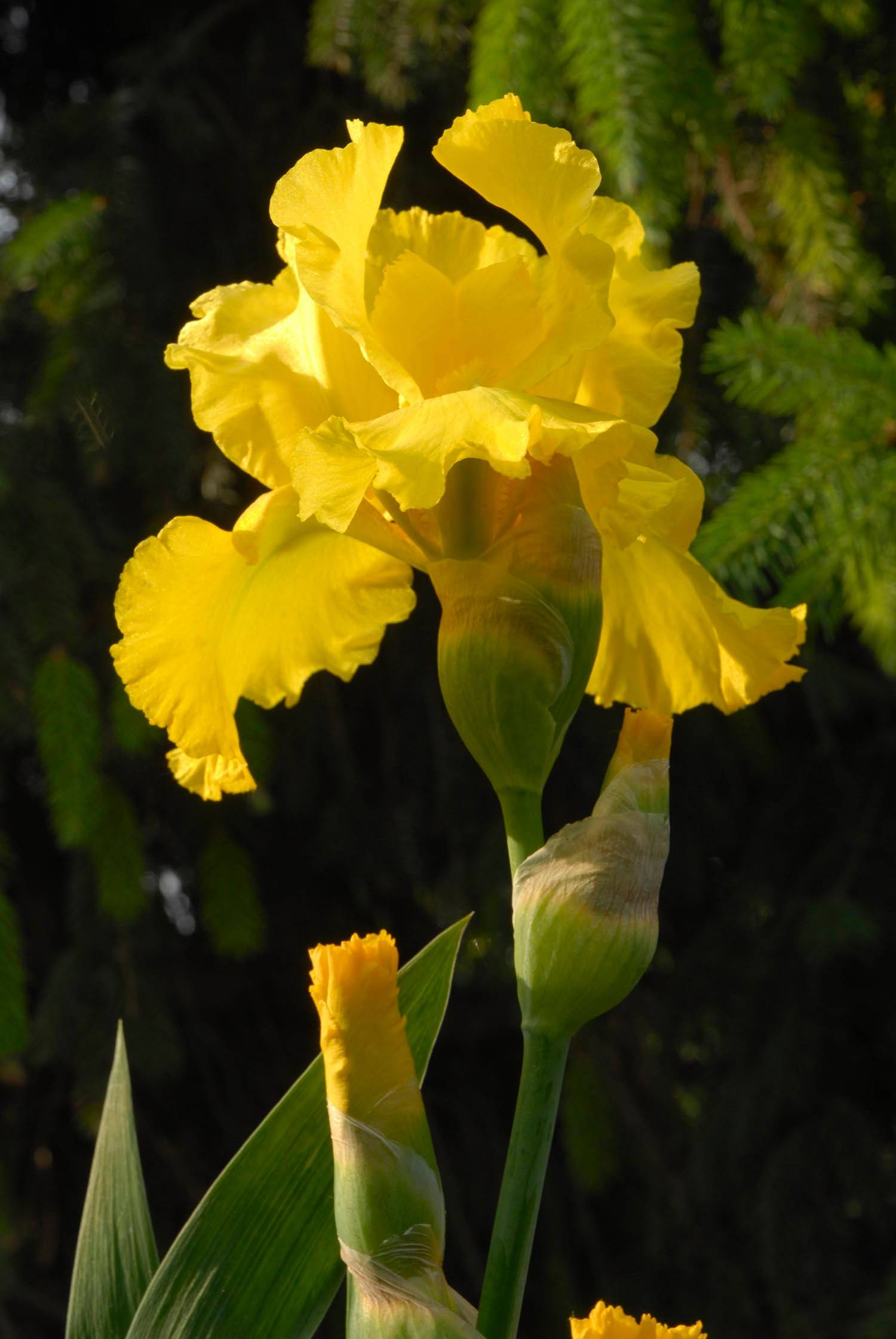 Once they finish blooming, bearded iris can be divided and replanted.
