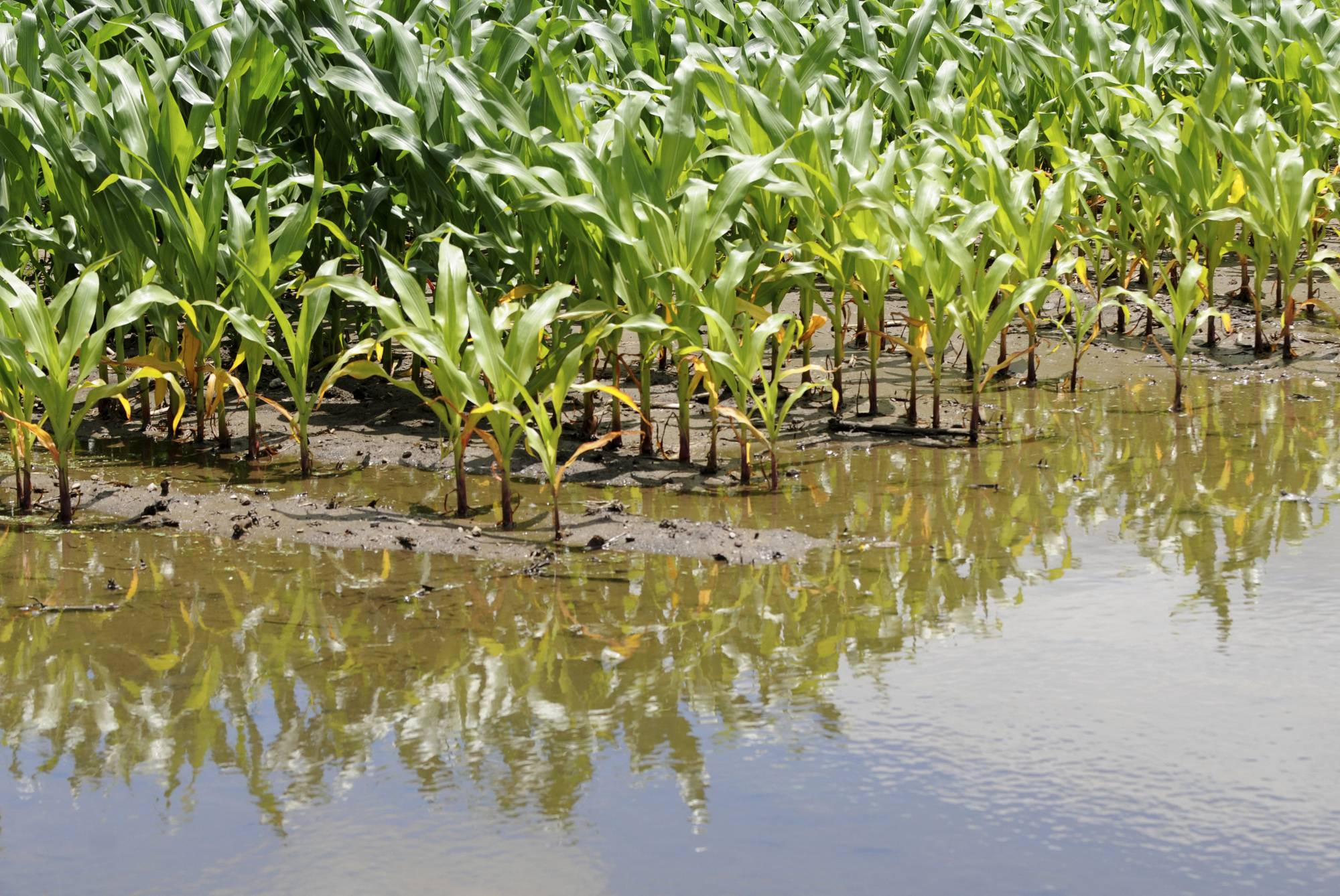 Corn crops are seen surrounded by water on Wednesday, July 2, at a farm in Silvis, Illinois. A round of severe thunderstorms Monday, June 30, damaged area crops and dumped a record amount of rain. The U.S. Department of Agriculture said this week that most of Illinois' corn crop is in great shape. But some farmers in western and central Illinois suffered extensive damage from the storms.