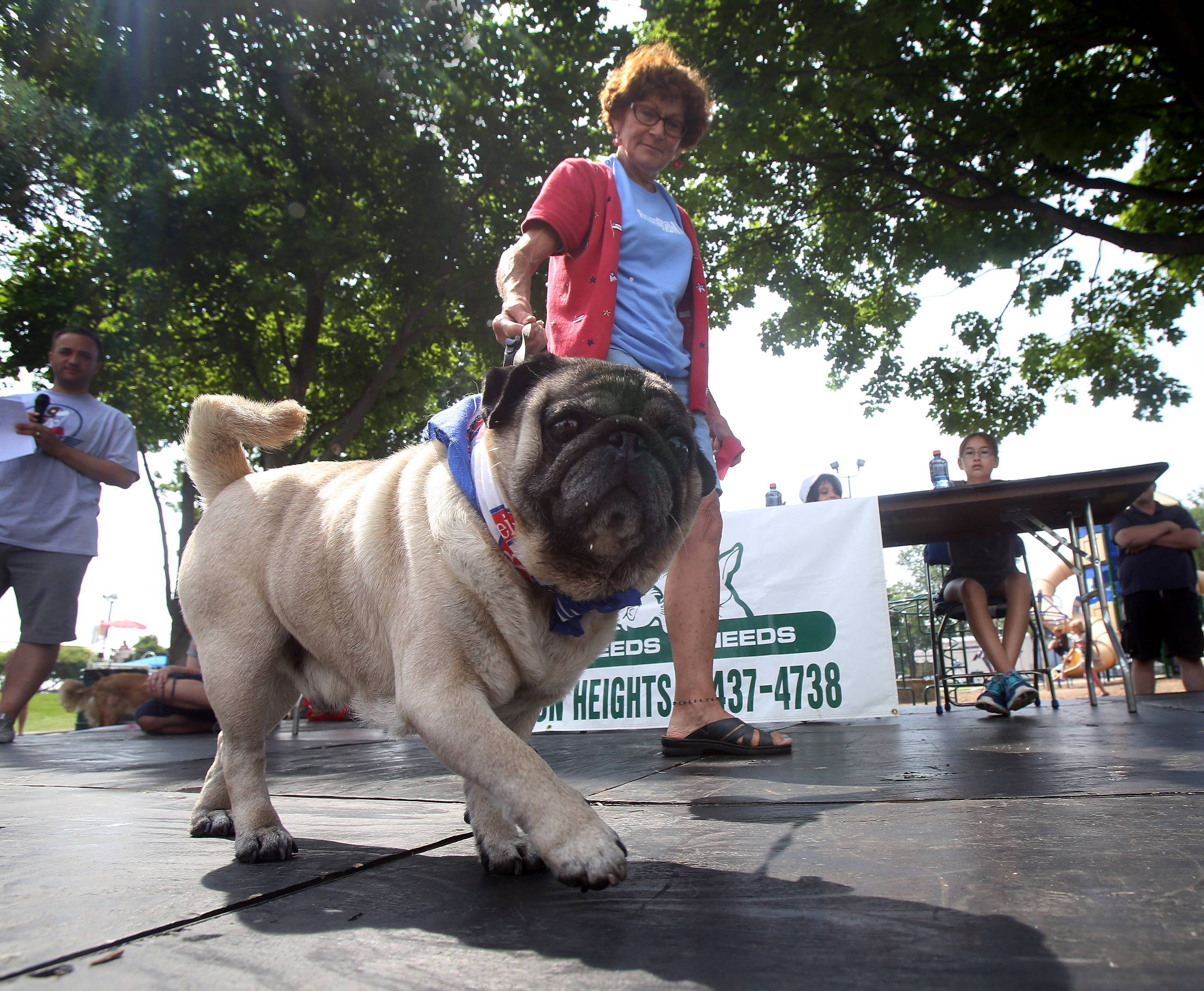 A pug named Clyde walks across the stage with Kacy Worcester of Elmhurst during Sunday's pet parade at Frontier Days in Arlington Heights. The parade, which featured pets and their owners competed for best costume, best trick, cutest pet, most unusual and looks most like its owner awards, was among the highlights of the annual fests's last day.