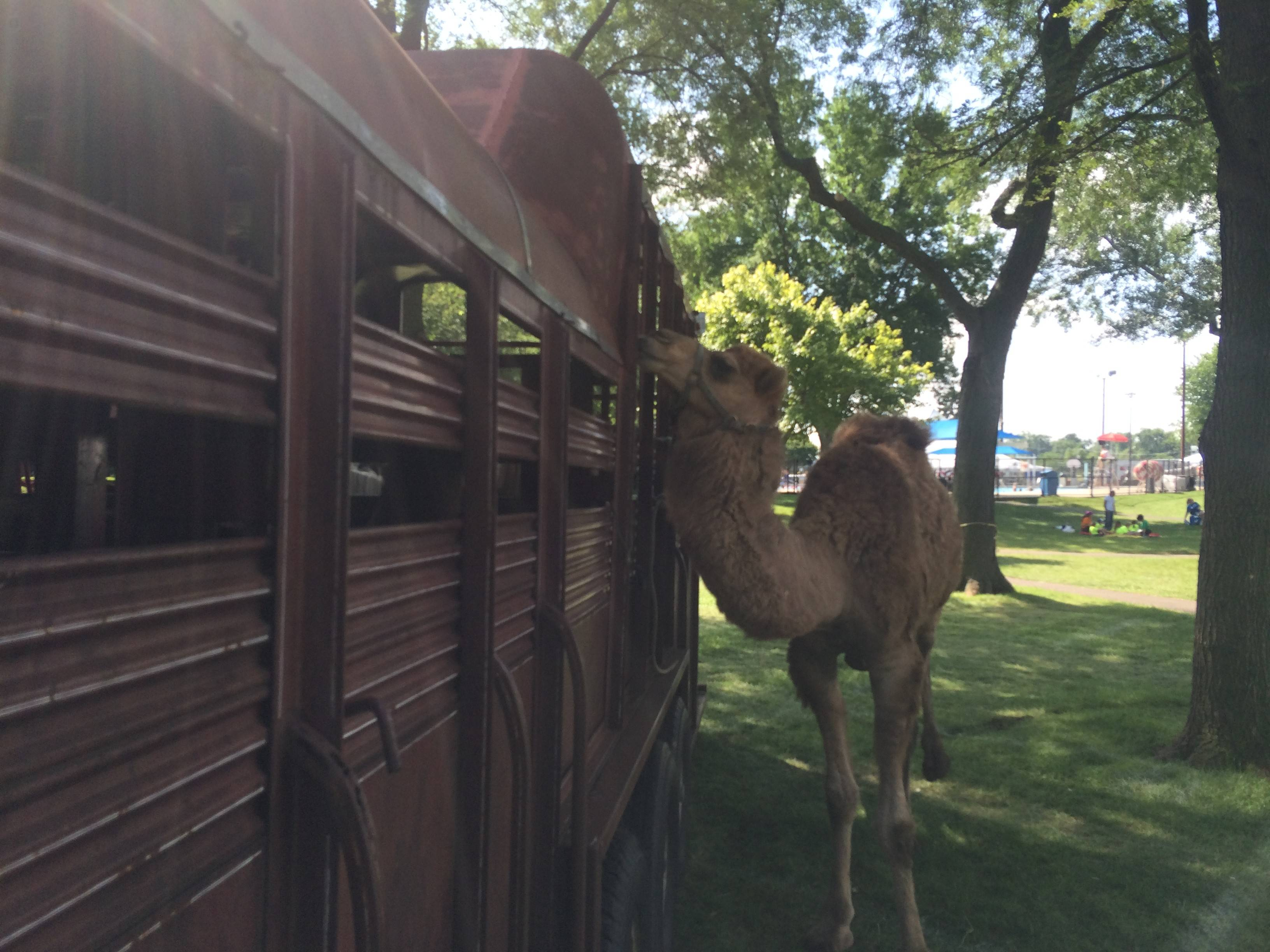 A camel provided by M&A Stables stands outside of its trailer as workers clean up the Frontier Days festival in Arlington Heights on Monday.
