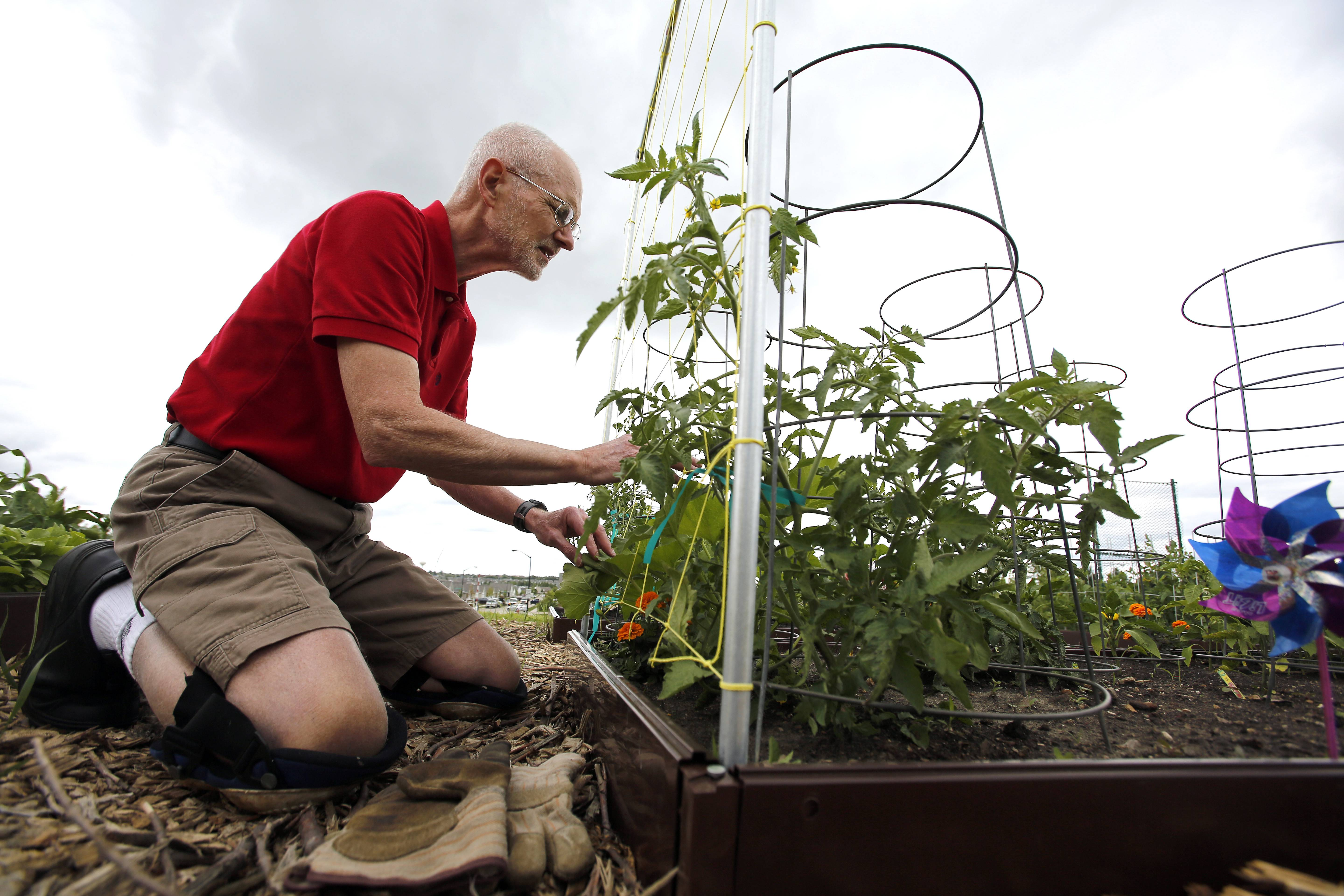 Rod Gohrke of Elgin tends to his community garden plot next to Elgin fire station No. 7 on Longcommon Parkway. The garden is part of the Elgin Fire Department's community service initiative, as gardeners are asked to donate some of the proceeds to Food for Greater Elgin.