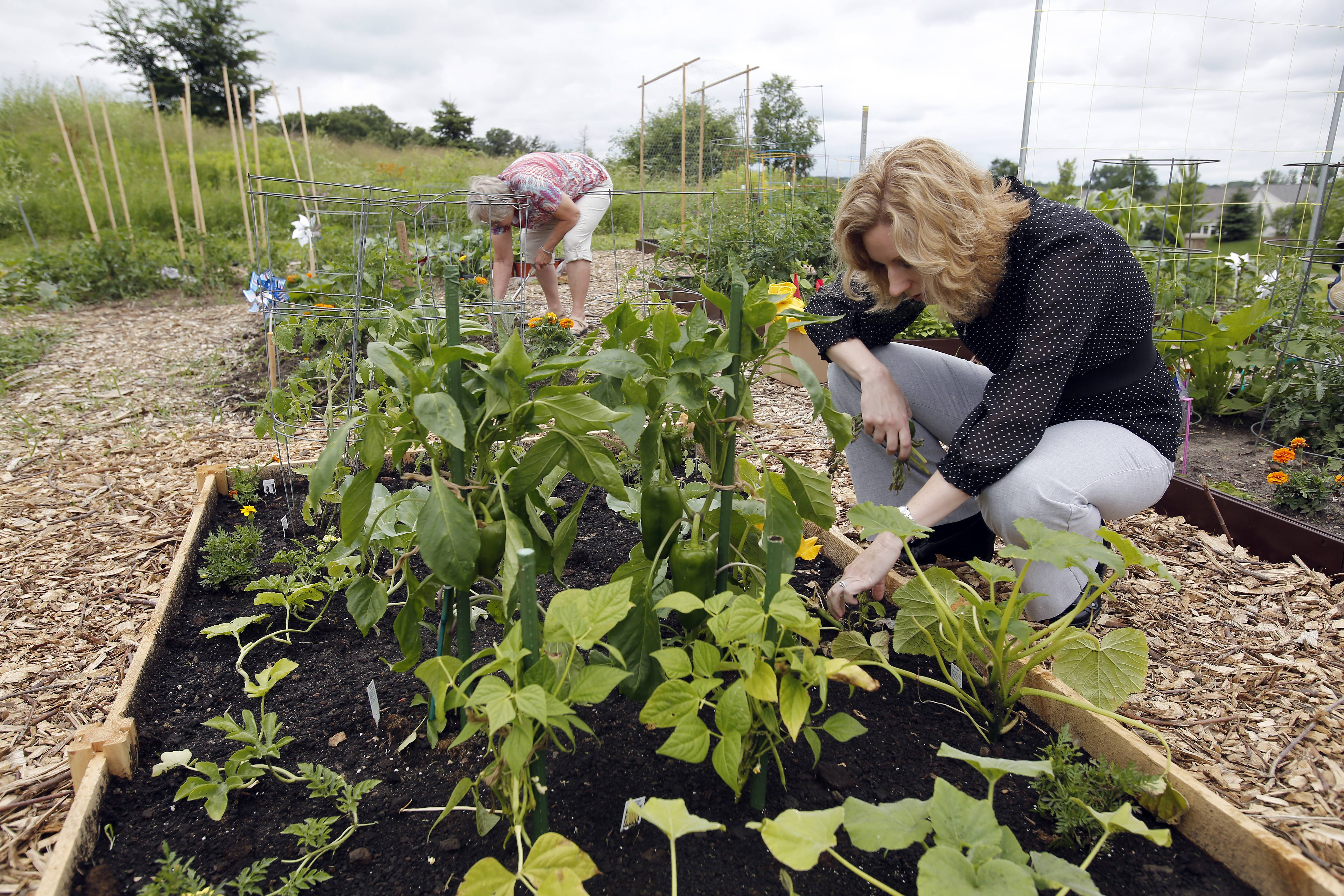 Monica Dombrowski of Elgin planted squash, yellow wax beans, bell peppers, tomatoes, broccoli and cauliflower in her garden plot next to fire station No. 7. Some of the proceeds go to Food for Greater Elgin.