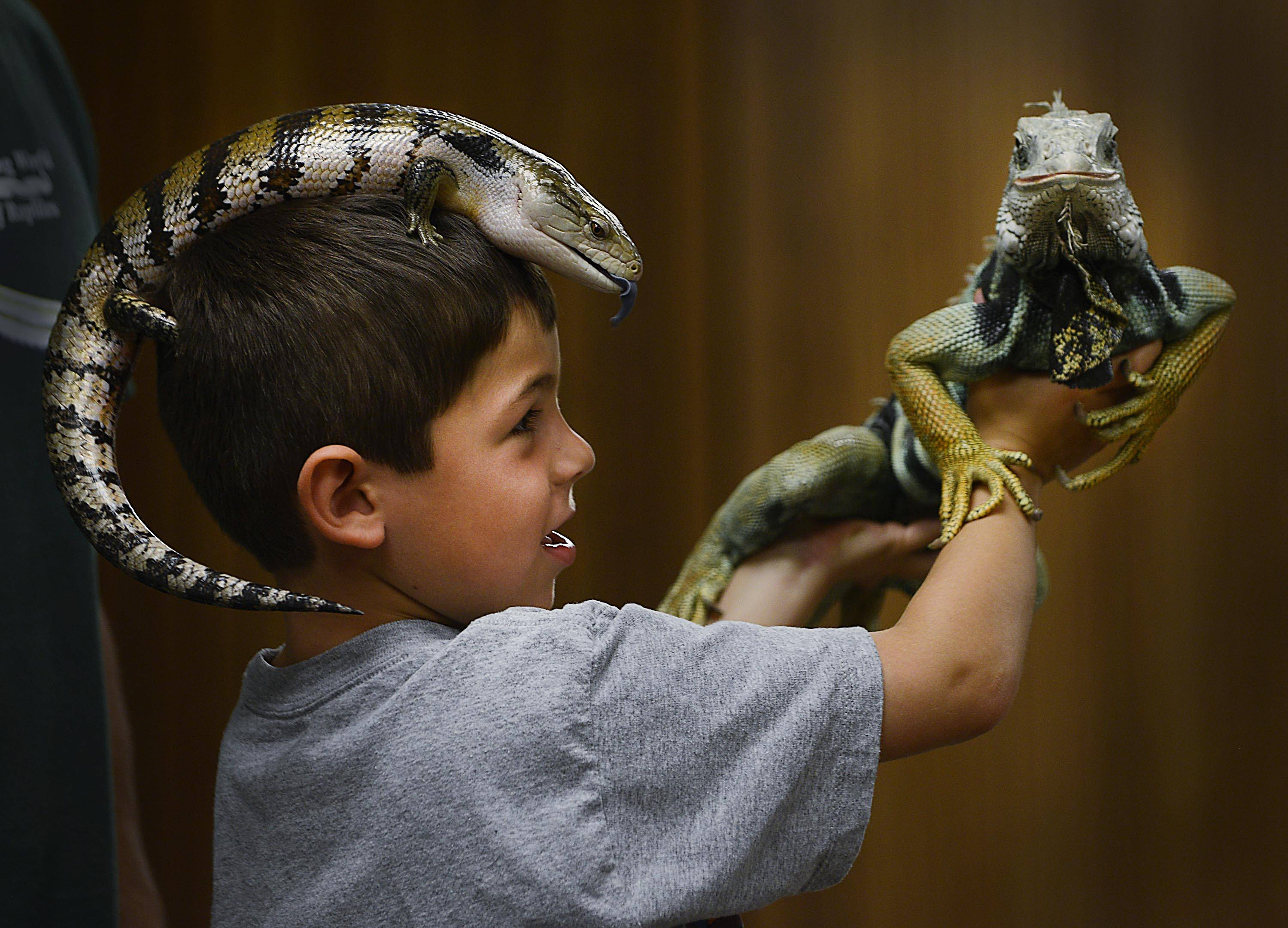Six-year-old Luke Gadomski, of St. Charles, holds a green iguana while a blue tongue skink sits on his head during a program by Dave DiNaso's Traveling World of Reptiles Monday at the St. Charles Library.