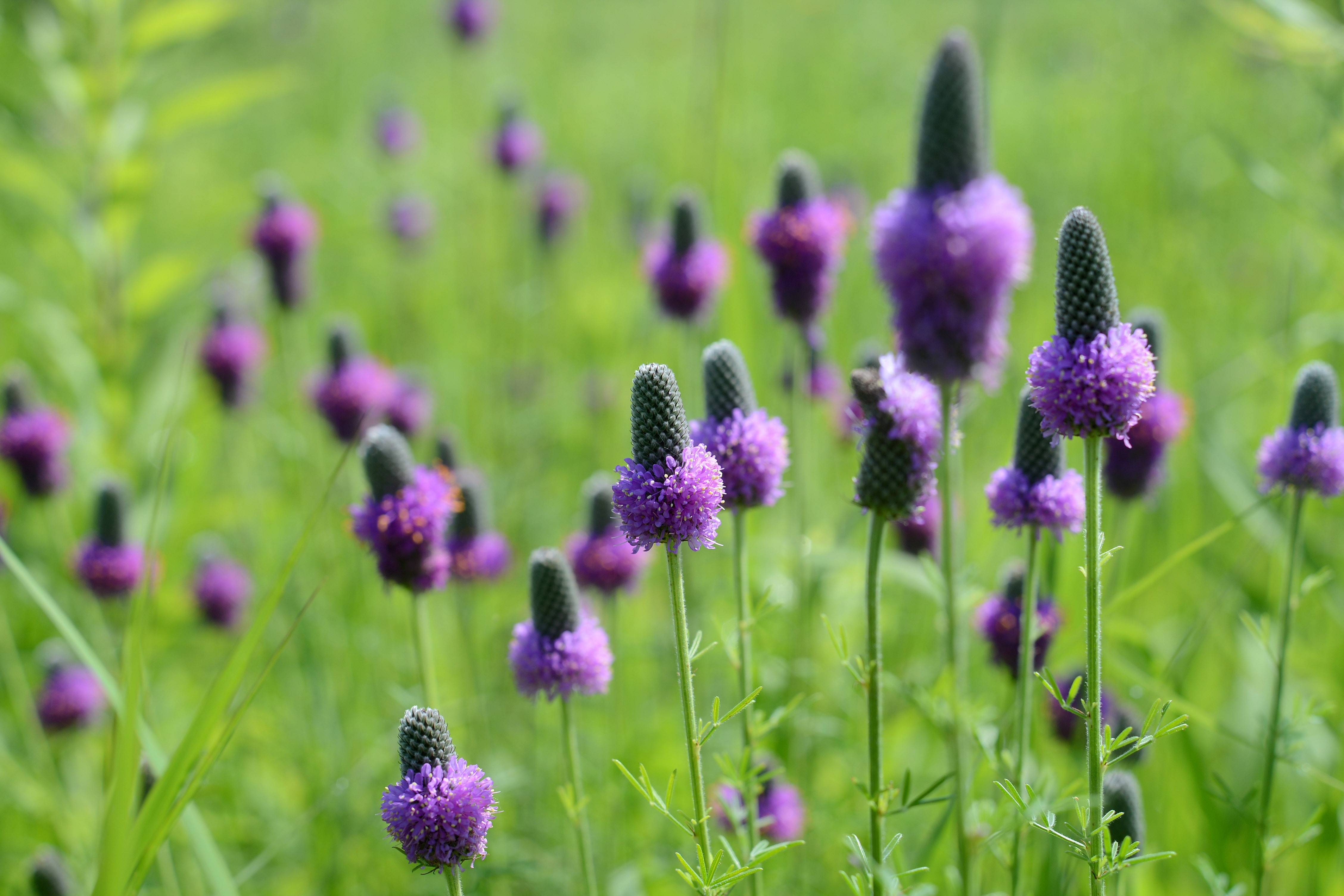 Purple prairie clover, a native species, grows at LeRoy Oakes Forest Preserve in St. Charles.