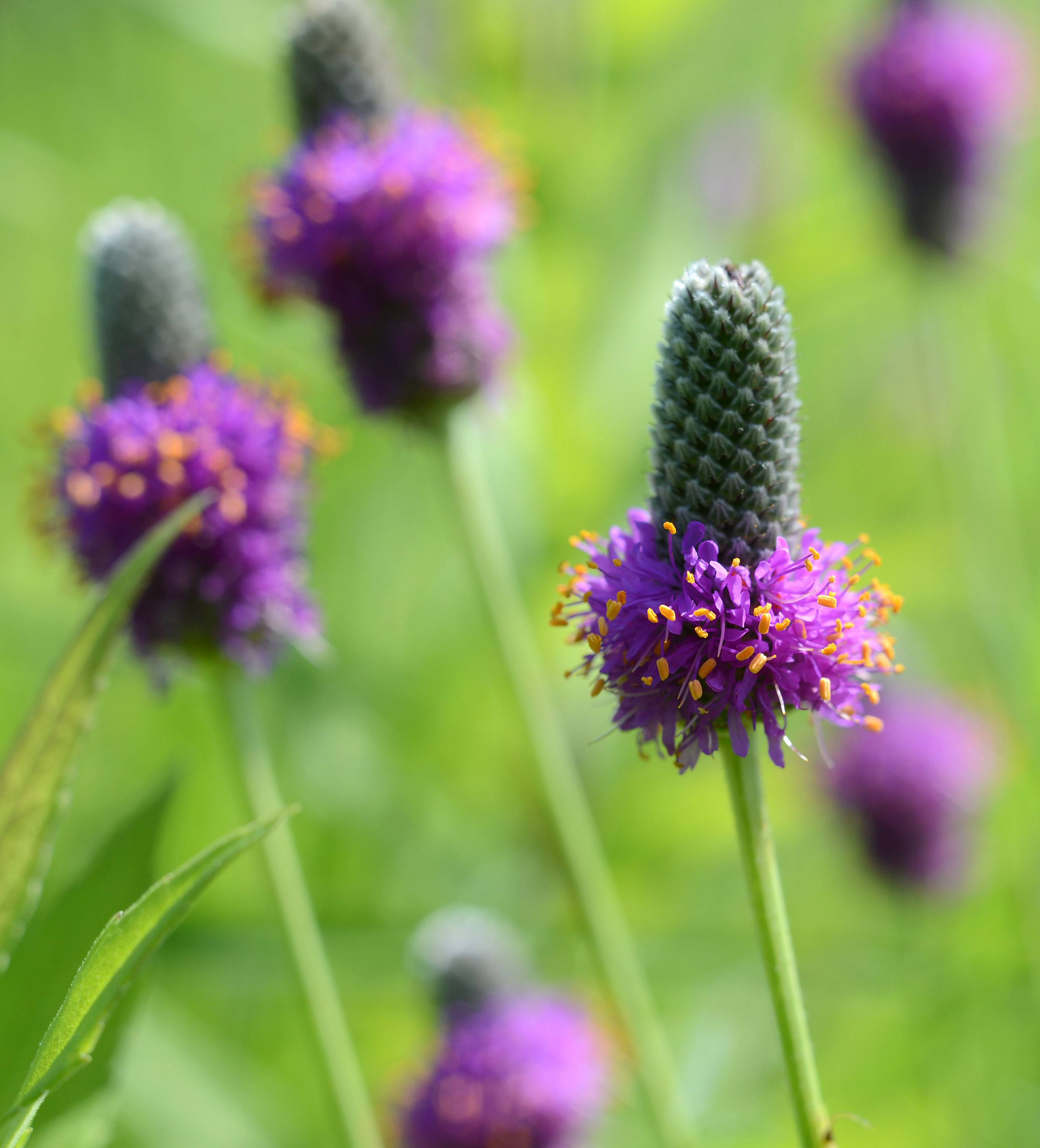 Purple prairie clover, a native species, at LeRoy Oakes Forest Preserve in St. Charles.