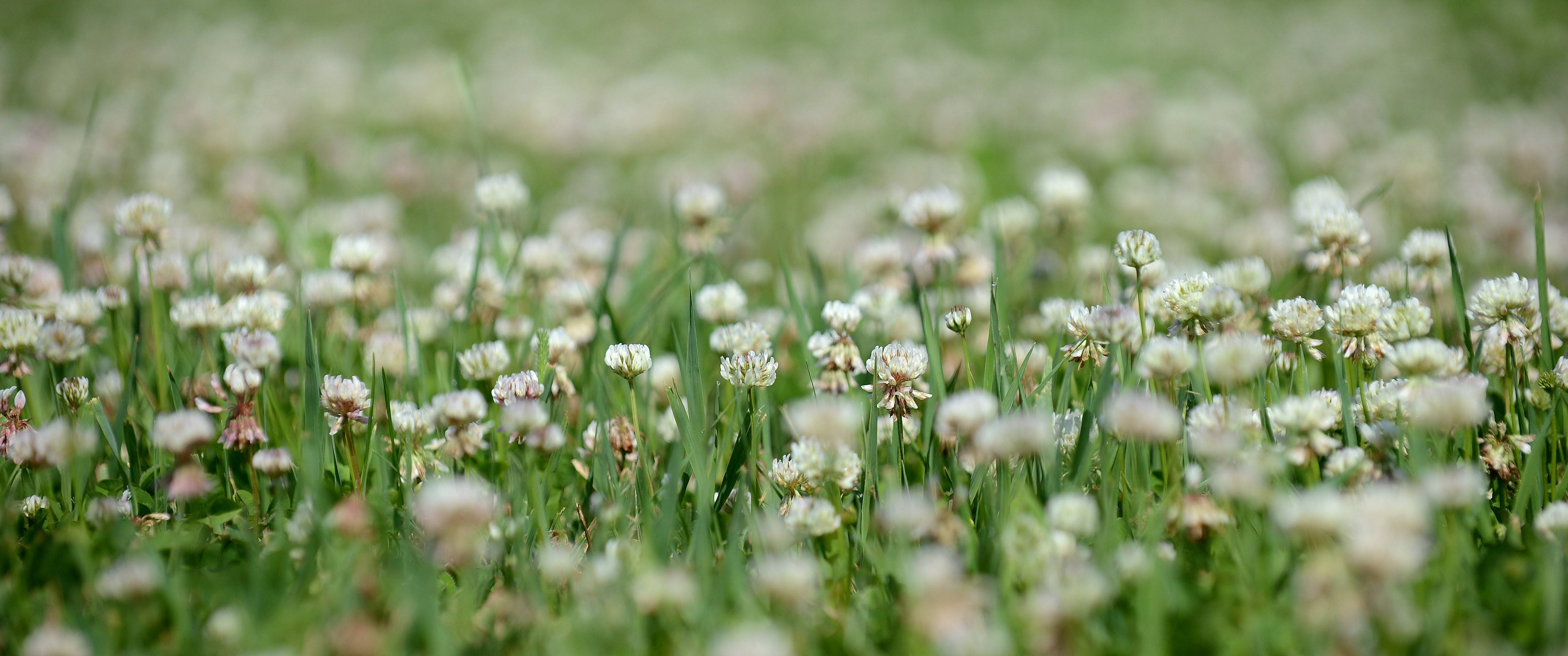 White clover, sometimes called Dutch clover, is found in Kane County.