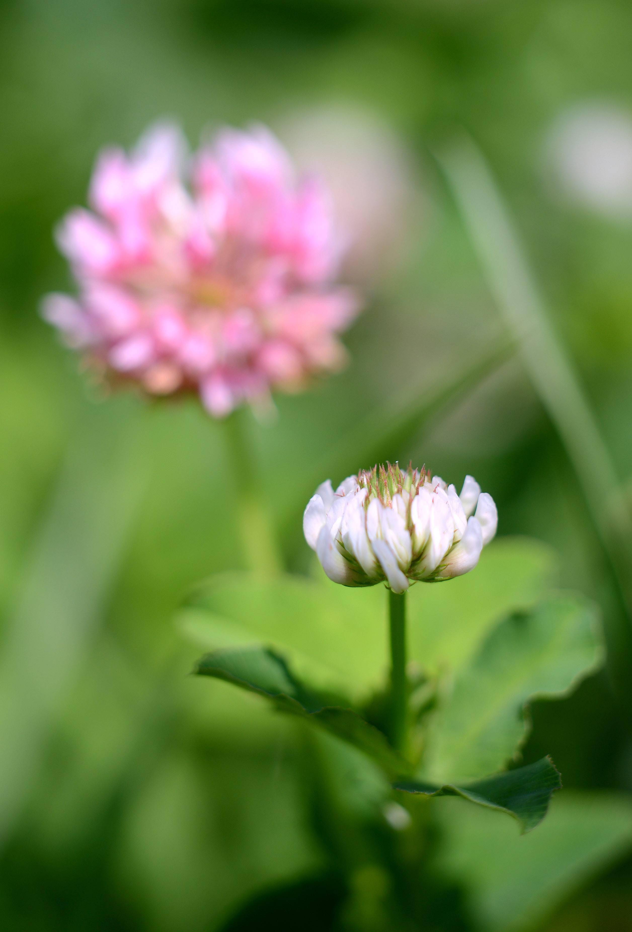 White clover, sometimes called Dutch clover, is shown with red clover in the background at LeRoy Oakes Forest Preserve in St. Charles. Prairies and meadows contain a variety of clovers.