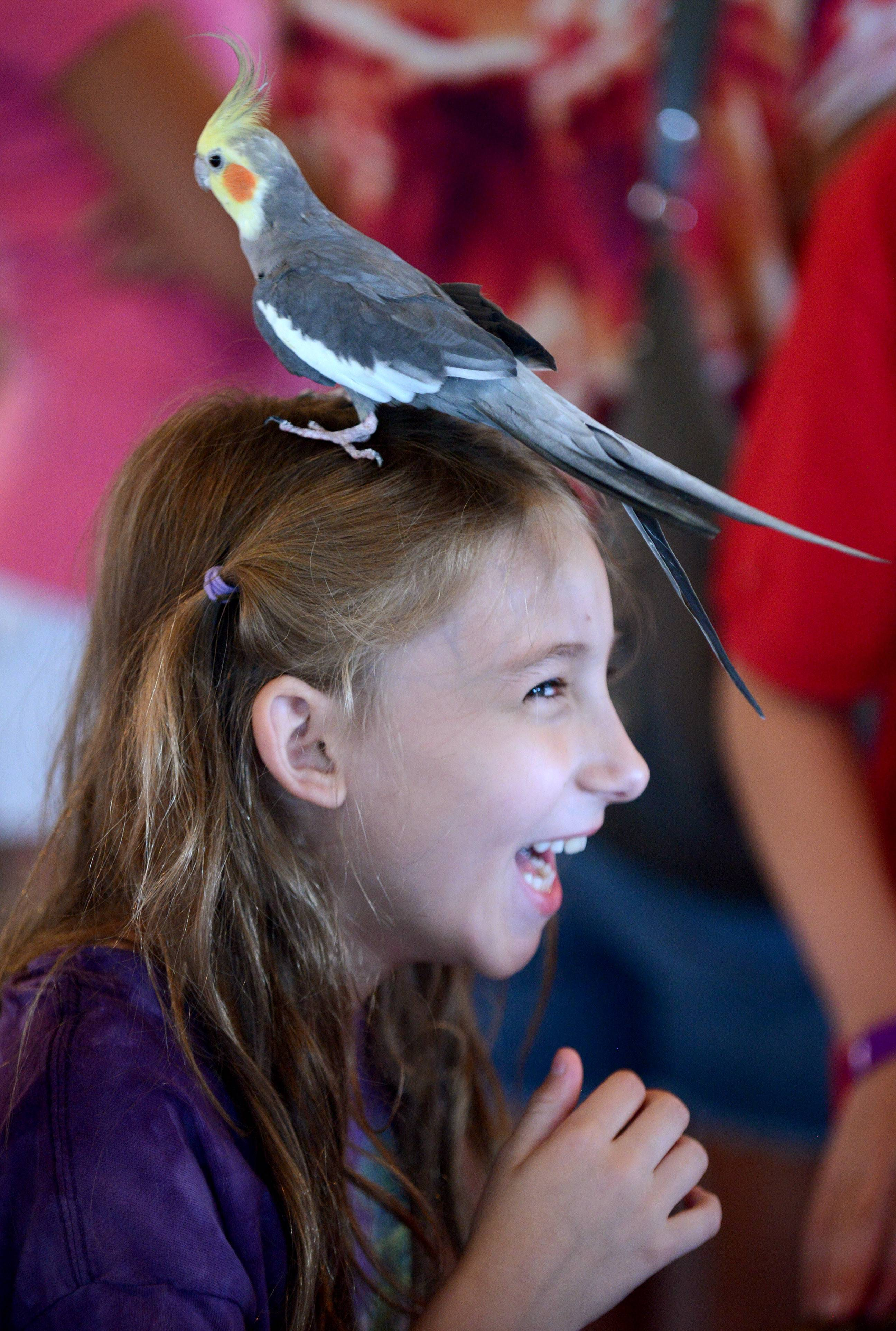 Amanda Gatsch, 8, of St. Charles squeals with delight as Riddle the cockatiel, owned by Dana Connell, 11, of St. Charles, perches on her head while he waits for his turn to be judged at the Kane County 4-H Small Pets show Tuesday at the Kane County Fairgrounds in St. Charles. Riddle, 13, was adopted from a rescue by Dana and both were making their first appearance at the show. They later won a blue ribbon and grand champion in their category. Dana is a new member of the A Bit More 4-H Club based in Hampshire.