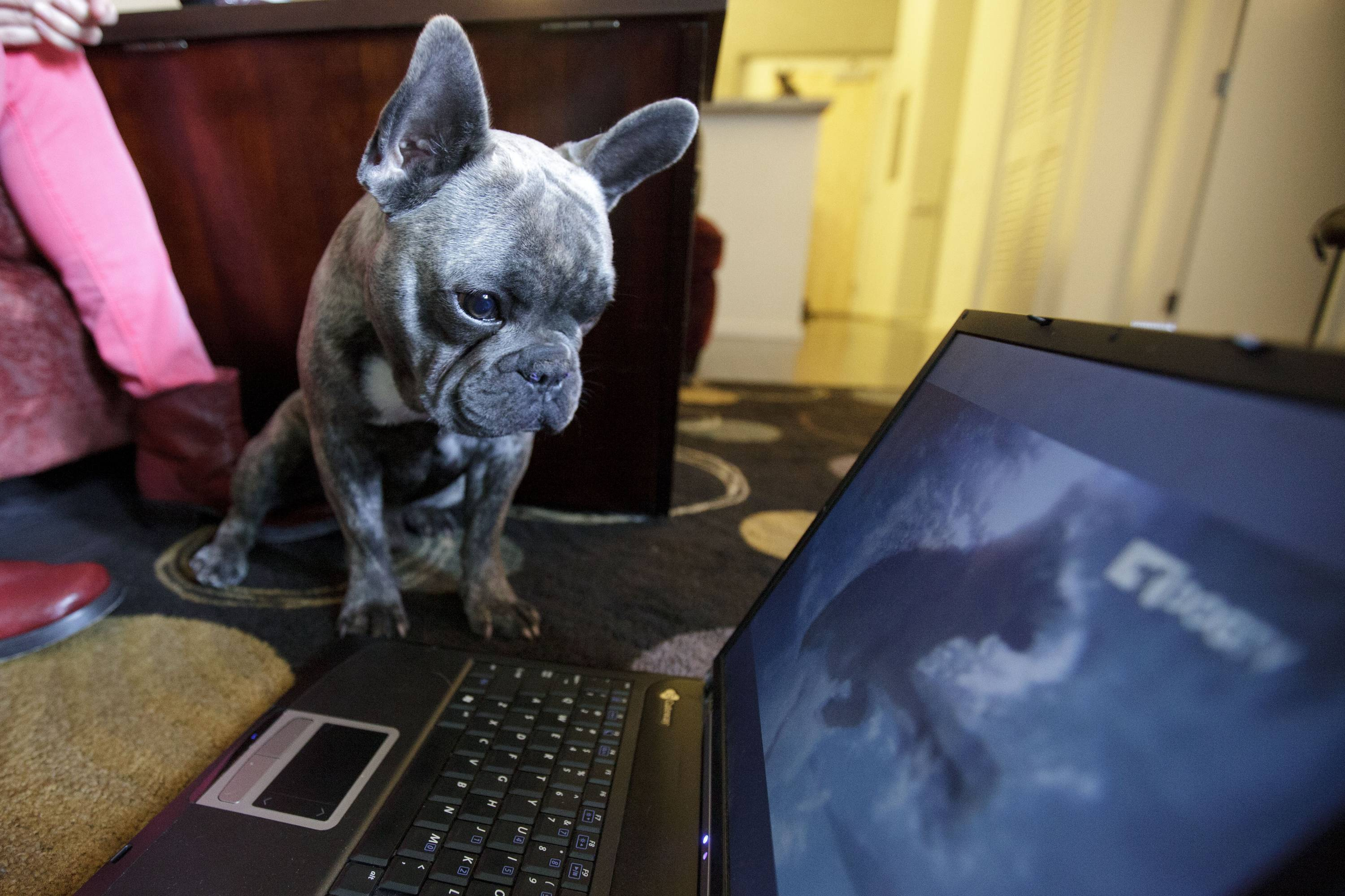 Bleu, a French bulldog owned by Maria Catania, watches DogTV in her apartment in San Diego, Calif. DogTV asked Grammy-winning musician Andrew Dost of indie rock band fun. to write some psychoacoustic music for the network.