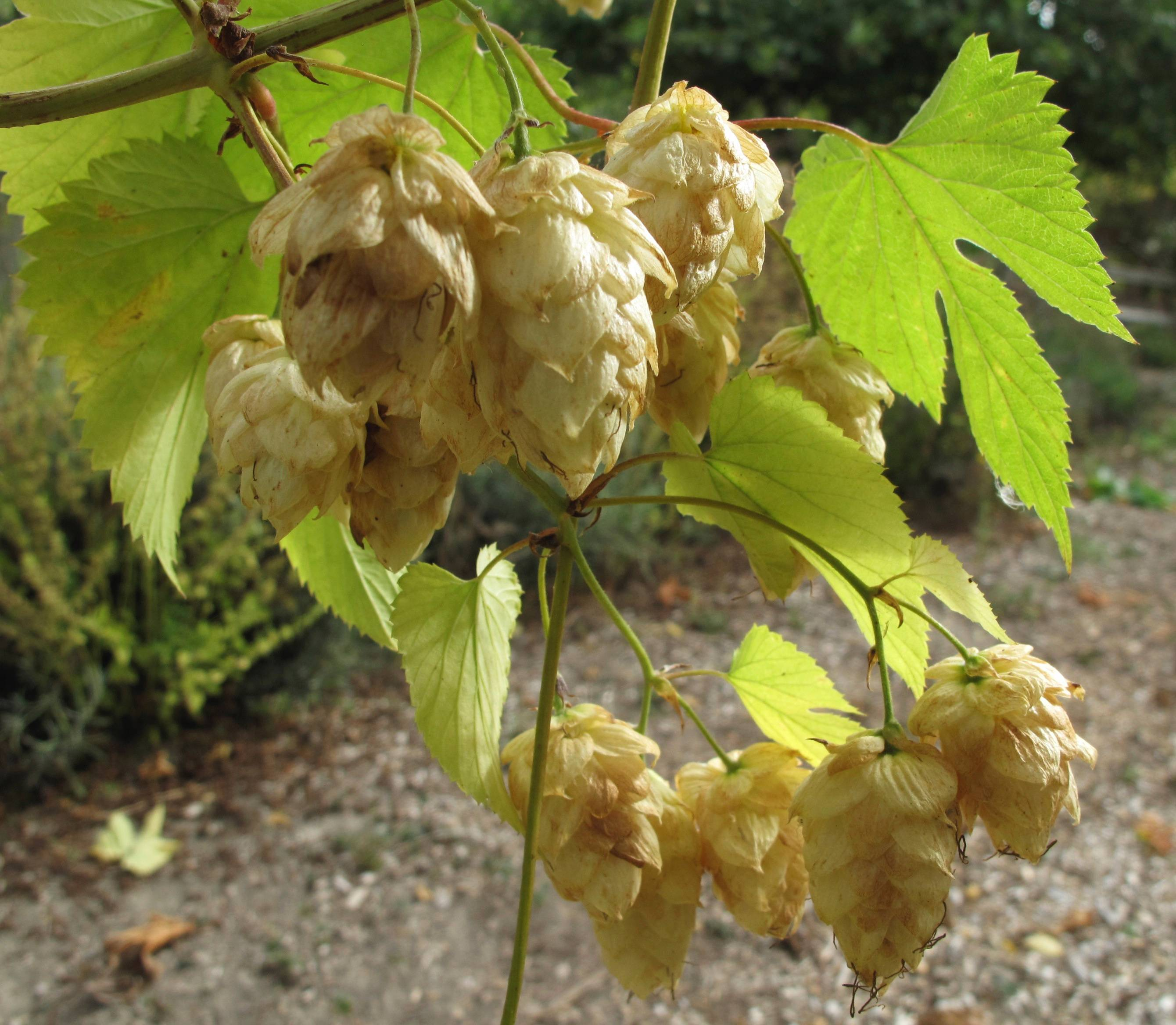 Hop flowers can be both ornamental and edible. Hops are an easy-to-grow perennial that greatly enhance a beer's flavor when picked fresh.