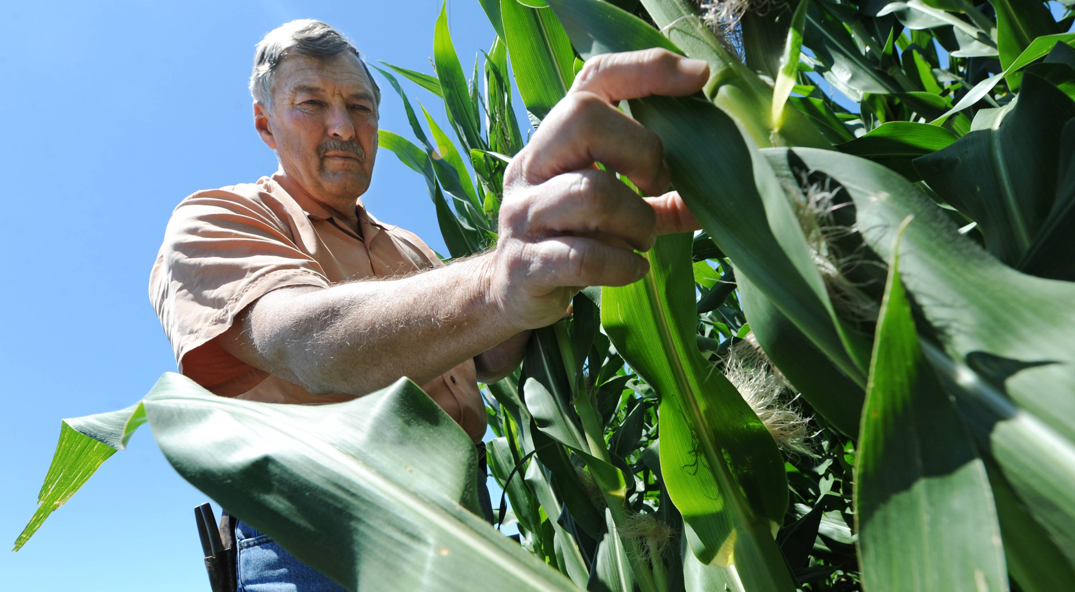 Neal Bredehoeft, of Alma, Mo., examines his corn for evidence of Japanese beetles, which he said are a serious concern for corn farmers. Some powerful agriculture interests want to declare farming a right at the state level as part of a wider campaign to fortify the ag industry against activists.