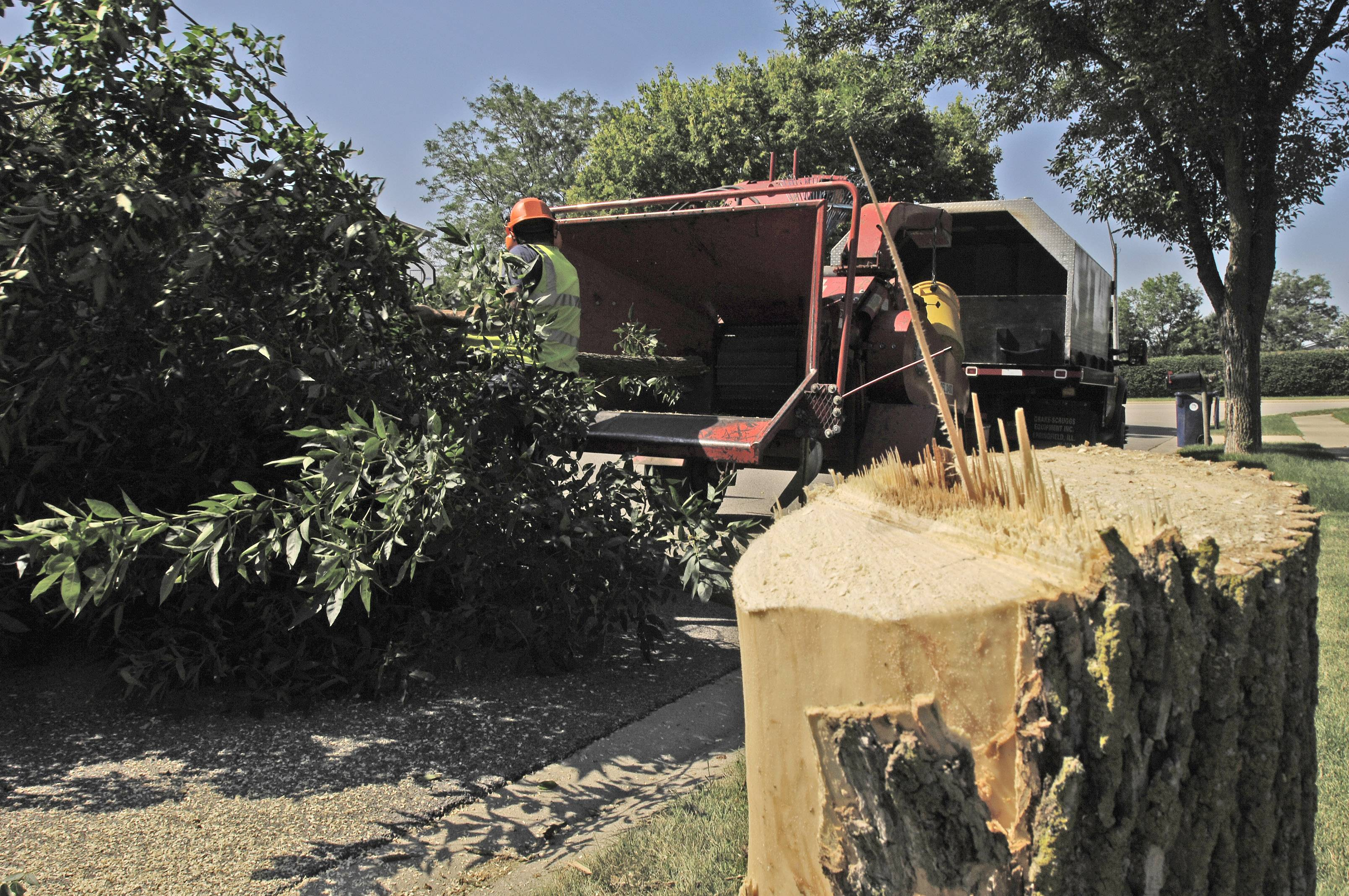 Buffalo Grove is stepping up its efforts to remove ash trees infested by the emerald ash borer. Village officials say crews are cutting down as many as 40 trees a day the make a dent in the estimated 3,000 infested by the insect.