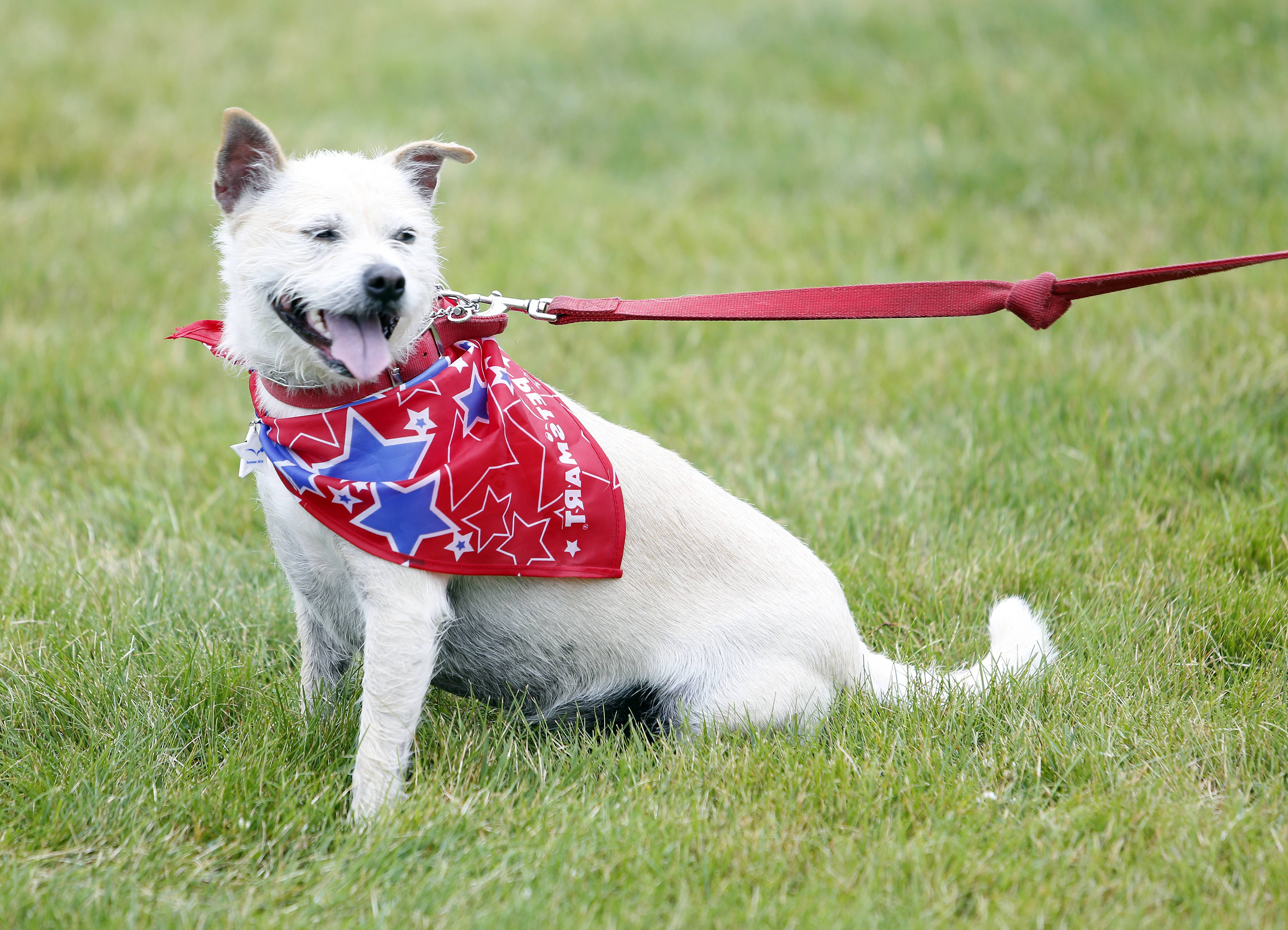 Gypsy, a terrier mix, wasn't able to walk Saturday morning in Batavia's Windmill City Fest pet parade, which was canceled by the rain.