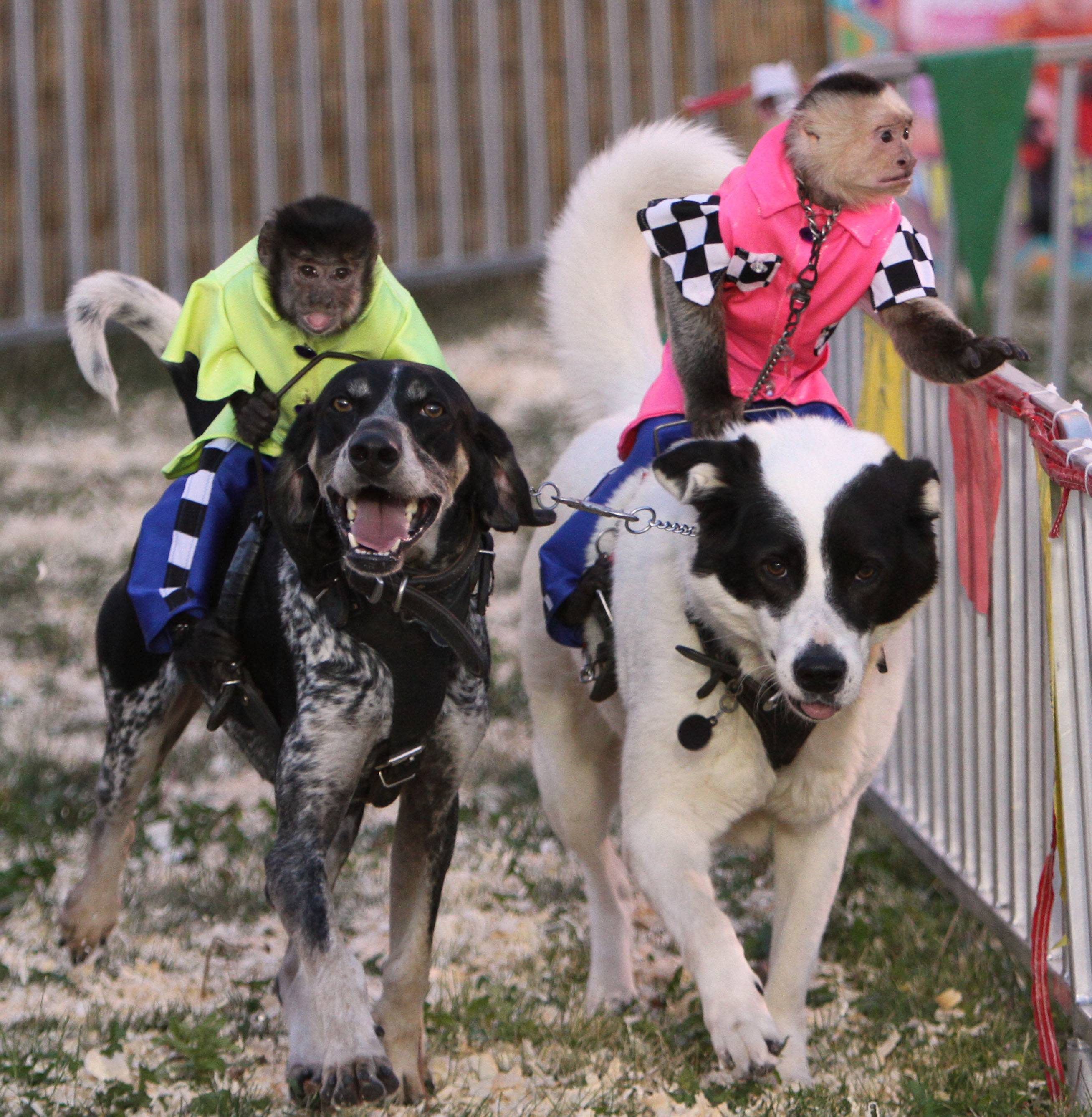 The Lake County Fair's Banana Derby features racing dogs with monkey jockeys.