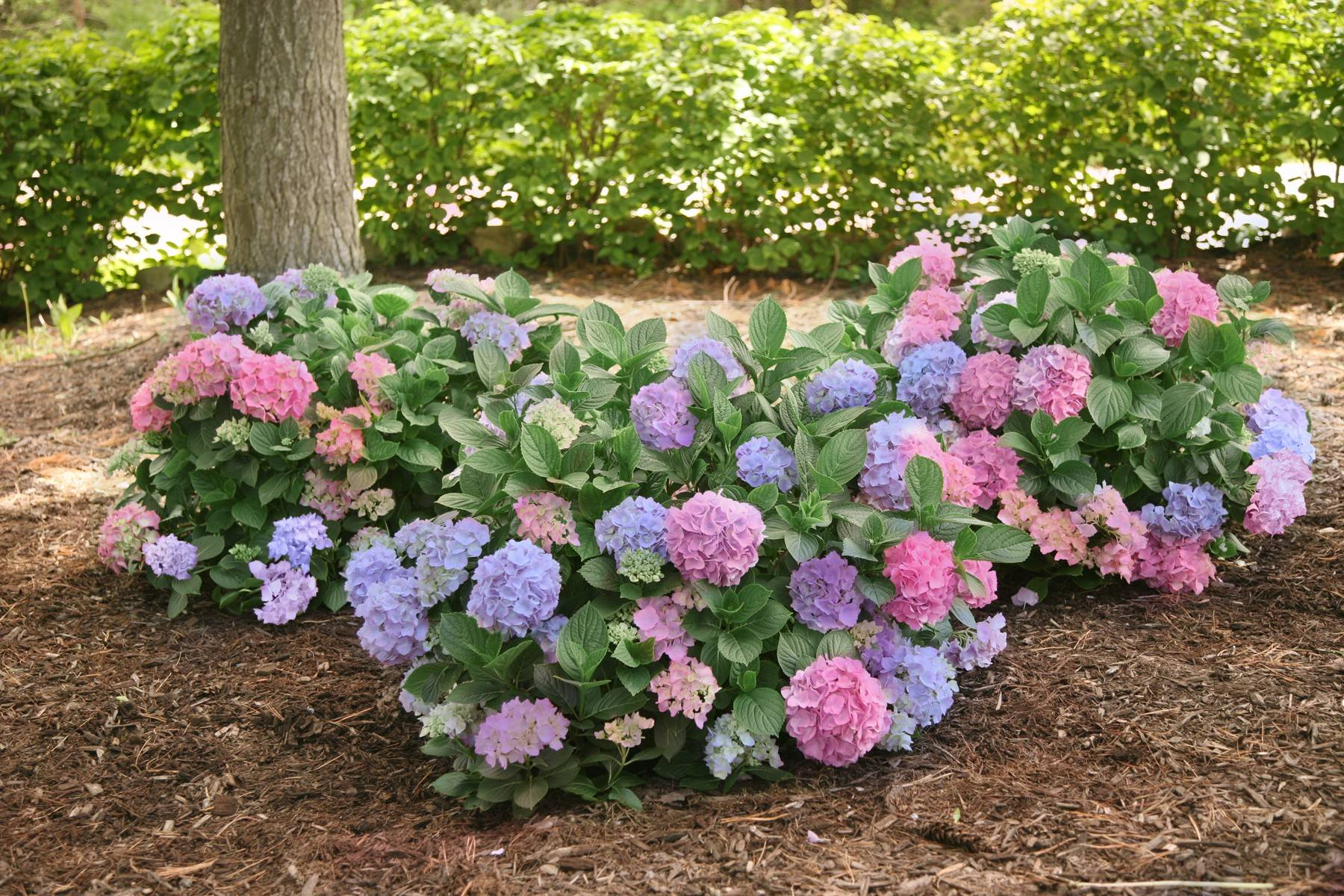 LA Dreamin' hydrangea blooms with pink and blue flowers at the same time.