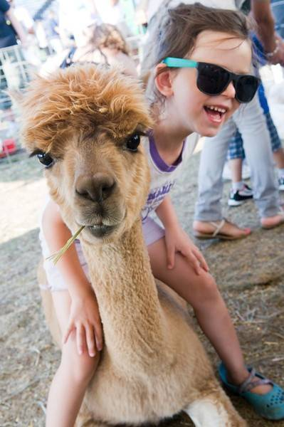 The petting zoo is a popular stop for kids at the Lake County Fair in Grayslake.