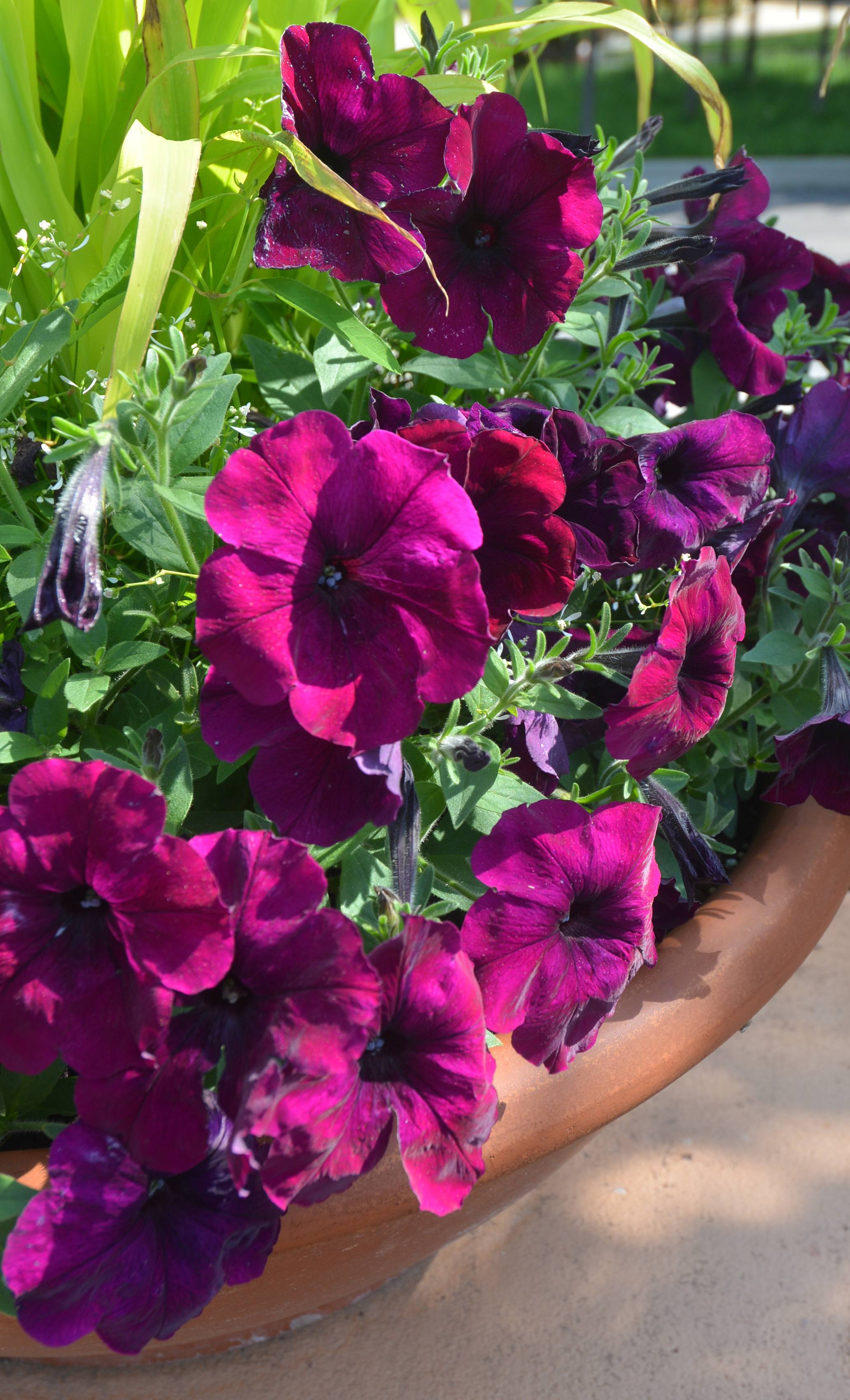 This is one of the Wave Burgundy Velour Petunias in the Garden Gateway & Plaza.
