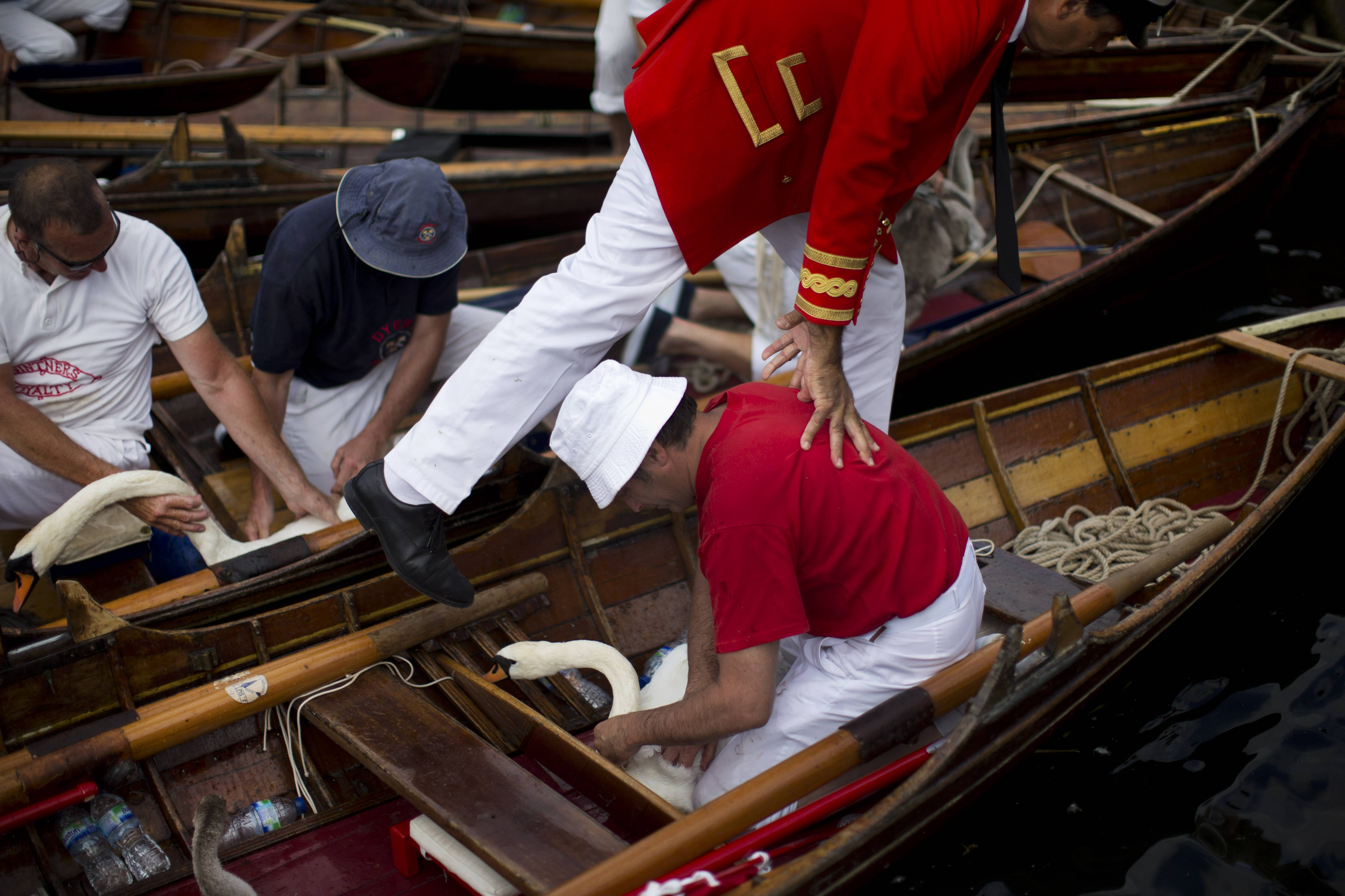 "Swan uppers hold swans and cygnets after lifting them into their Thames skiff rowing boats to be counted and checked during the annual ""Swan Upping"" census, on a stretch of the river between Staines and Windsor in southern England Monday."