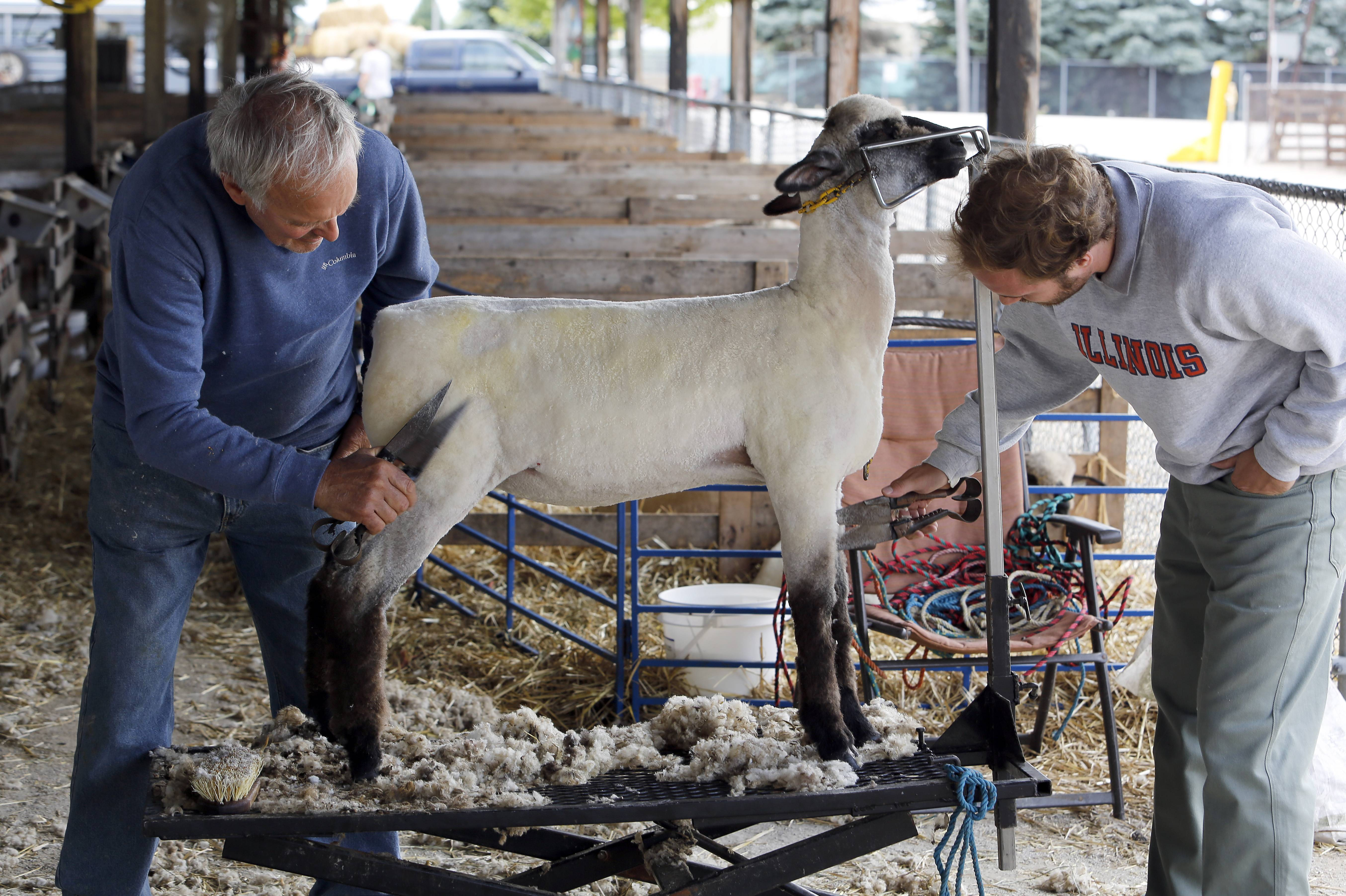 Richard Crome of Charleston, left, and Zack Klunick of Springfield trim a ewe at the Kane County Fairgrounds Tuesday in St. Charles. Trimming is generally done as the final cut after a sheep has been shorn. Crome said he has been coming to the Kane County Fair for more than 20 years.