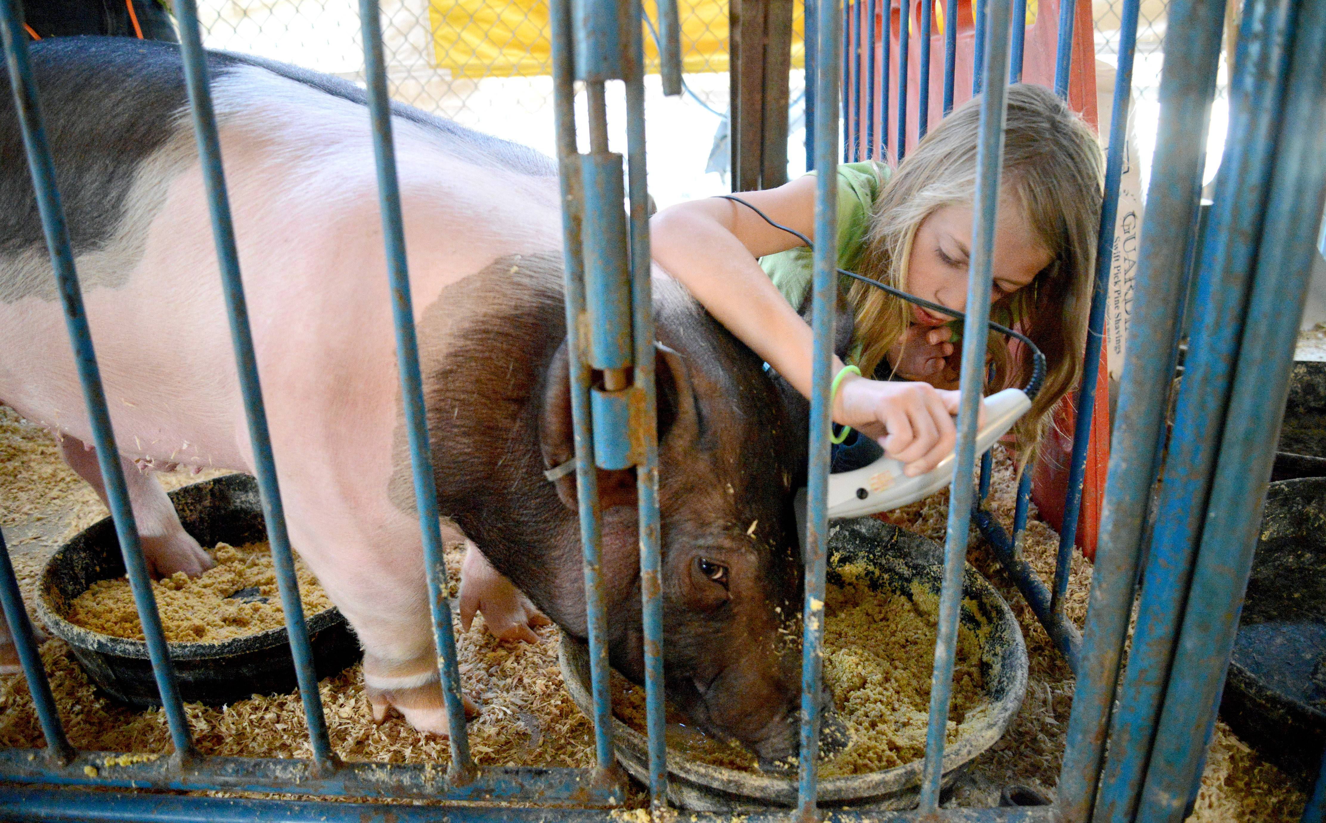 Emily Lesko, 10, of Glendale Heights trims the hair on the forehead of her pig named Teenie to prepare for showing him at the Kane County Fair Thursday in St. Charles. This is her third year showing with the Whirlybirds 4-H Club.
