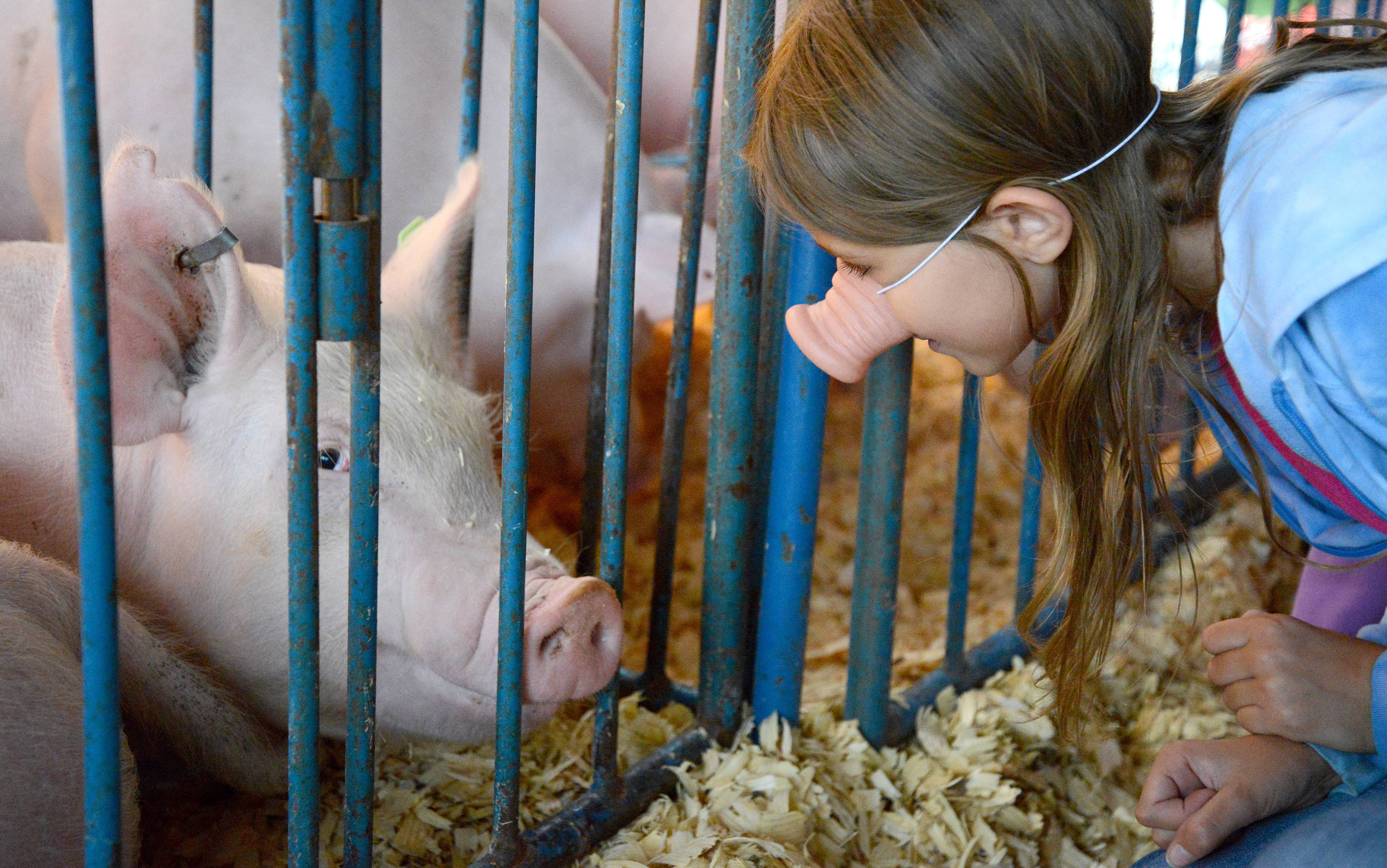 Lillian Schmidt, 9, of Algonquin talks to a pig in the swine barn during opening day of the 146th Kane County Fair in St. Charles. Lillian and three of her friends received pig noses after watching the racing pigs on the Midway and decided to keep wearing them while they visited the 4-H barns.