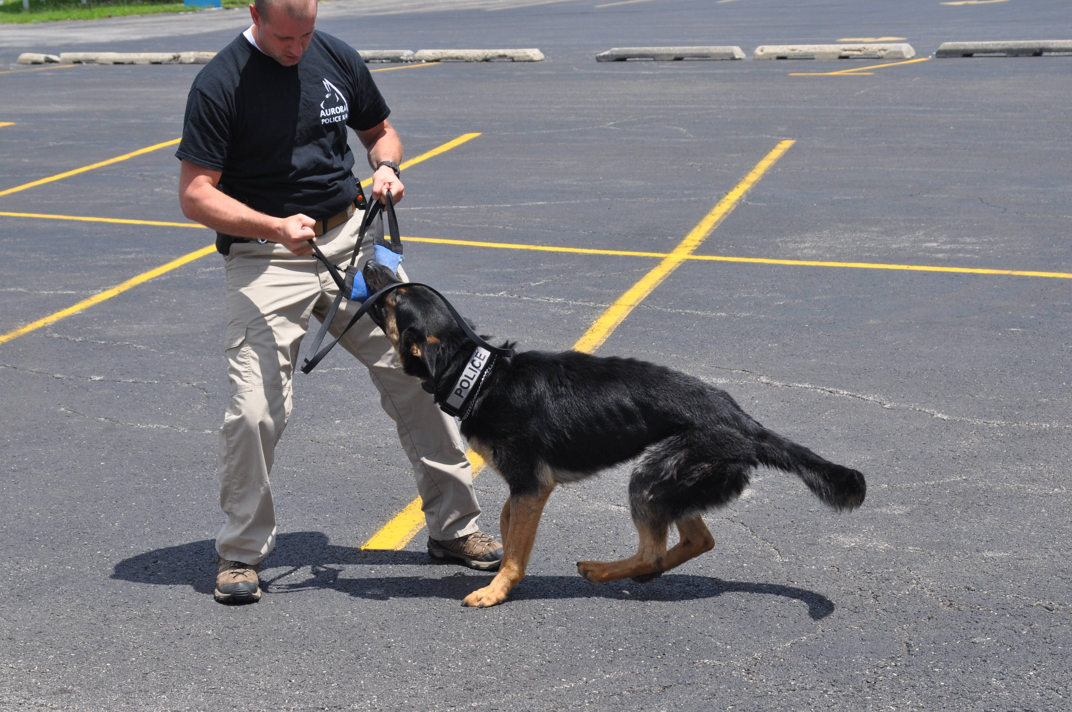 Aurora Police Department K-9 unit dogs charm Noon Lions Club members at the club's July 7 luncheon meeting. Led by his handler, Officer Matt Bonnie, Akroy demonstrates his skills by finding a wallet hidden in a grass yard and a dog toy in a squad car.