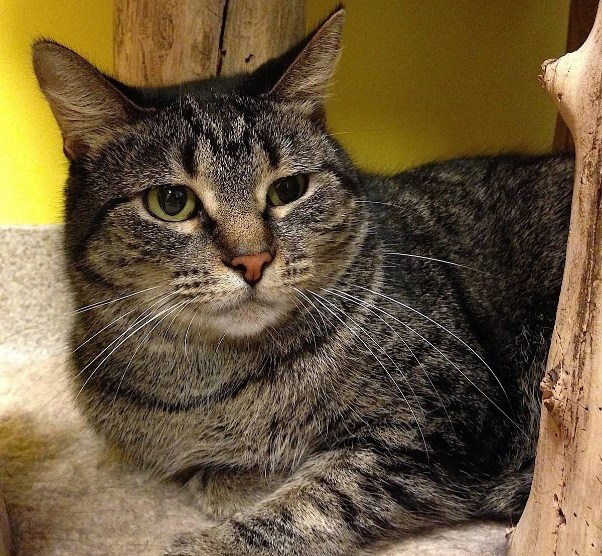 Sweetie is a 2-year-old, female shorthair.