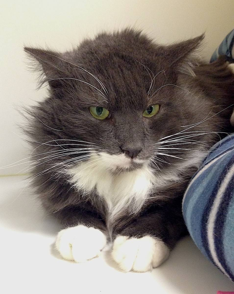 Smirnoff is an FIV positive, 3-year-old male.